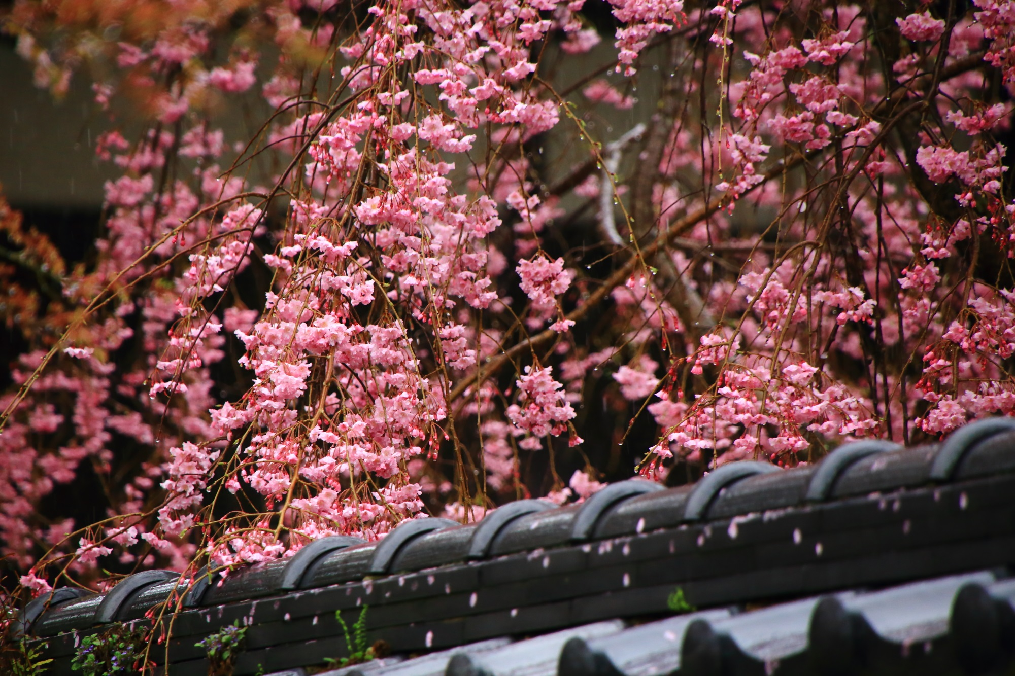 鮮やかなピンクの桜の花が溢れる実相院