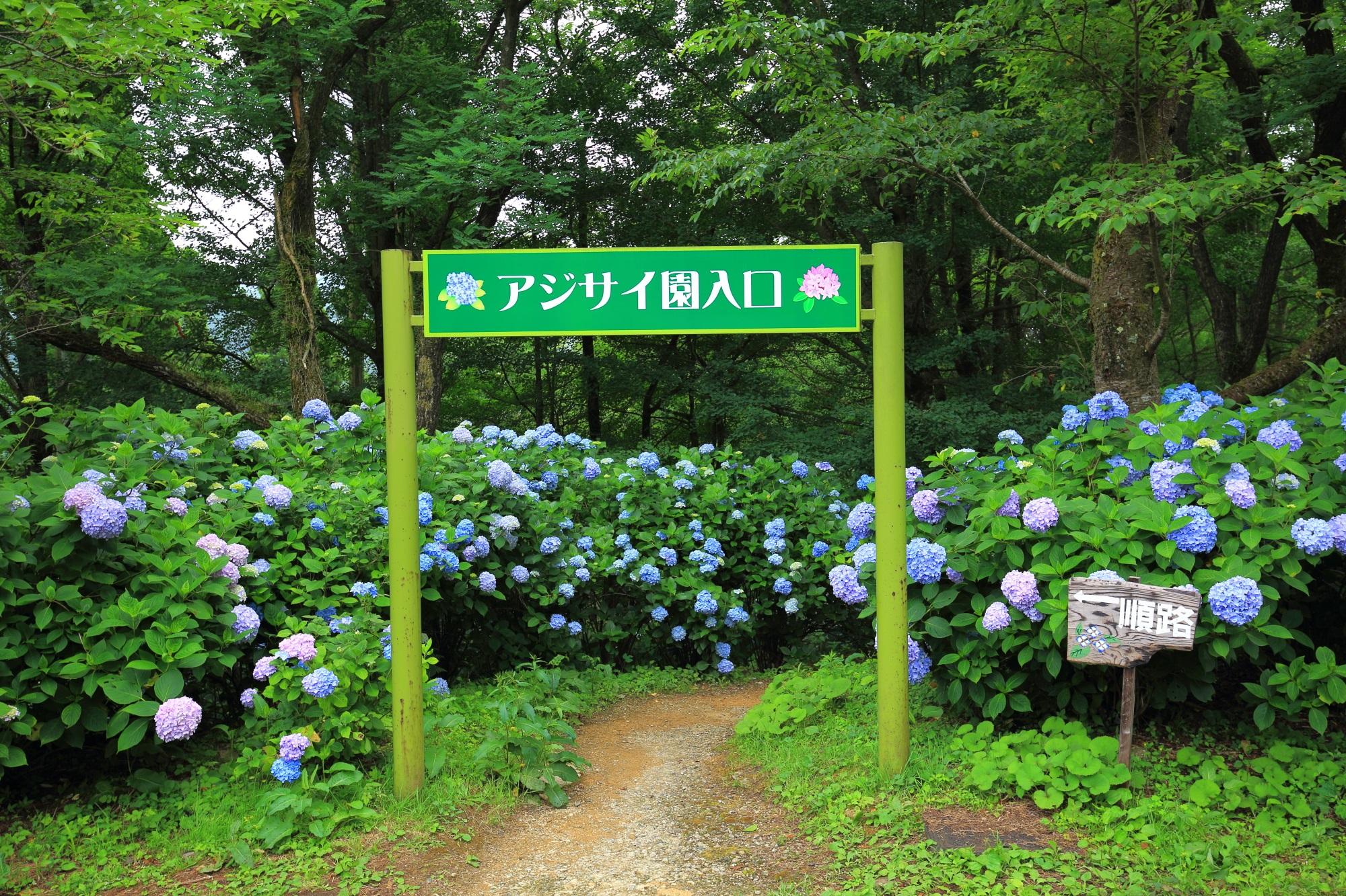 京都府舞鶴市の舞鶴自然文化園のアジサイ園