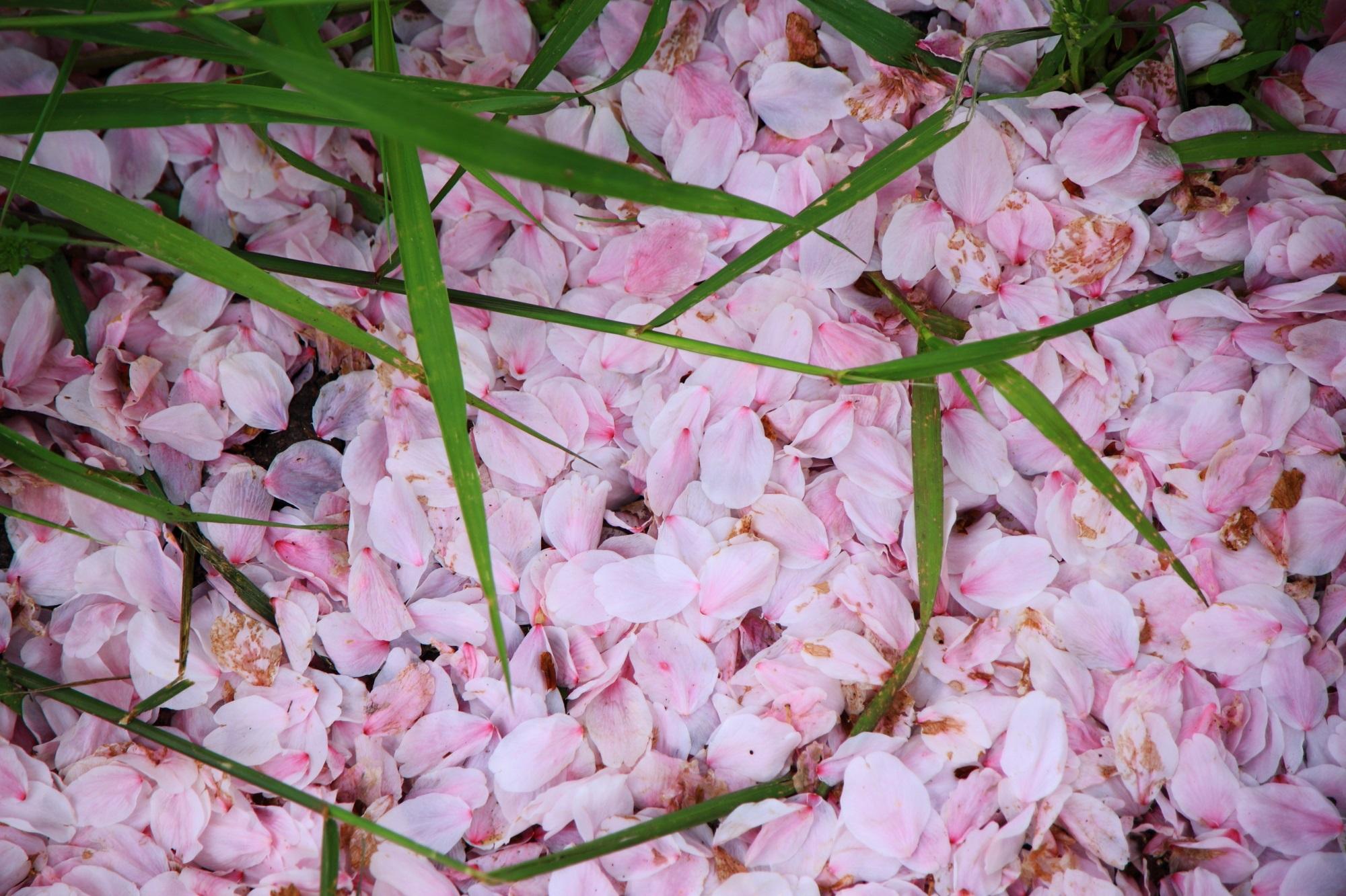 散っていっぱい溜まったピンクの桜の花びら