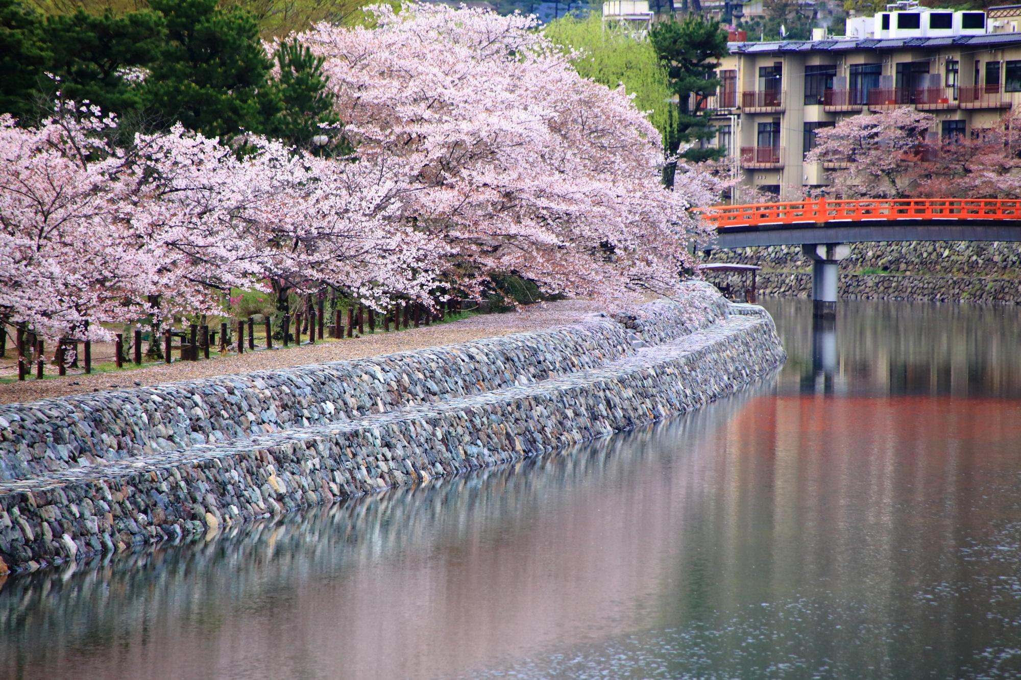 弾け飛びそうな桜と宇治川の美しい桜の水鏡