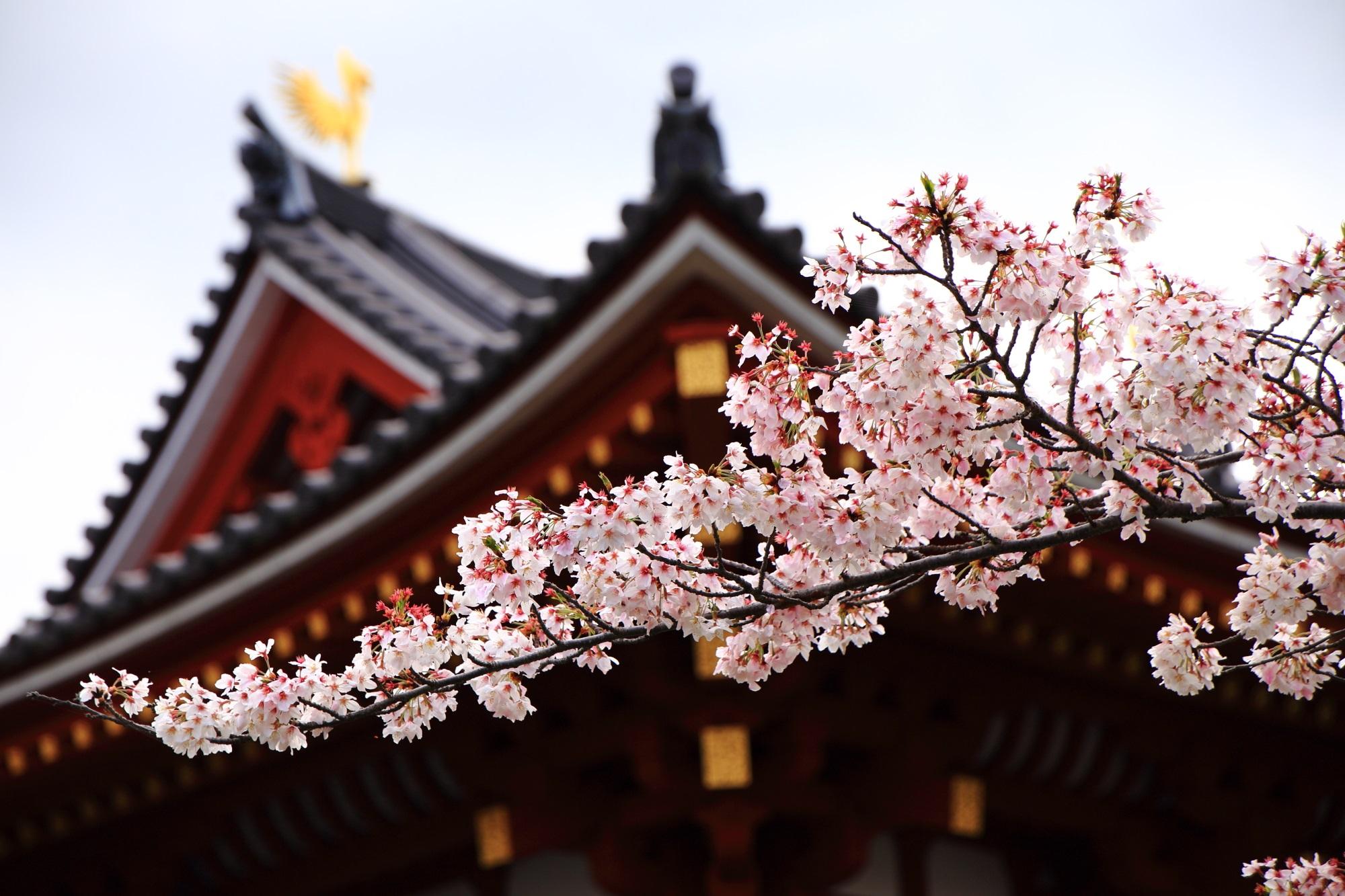 鳳凰堂を背景にしたピンクの桜