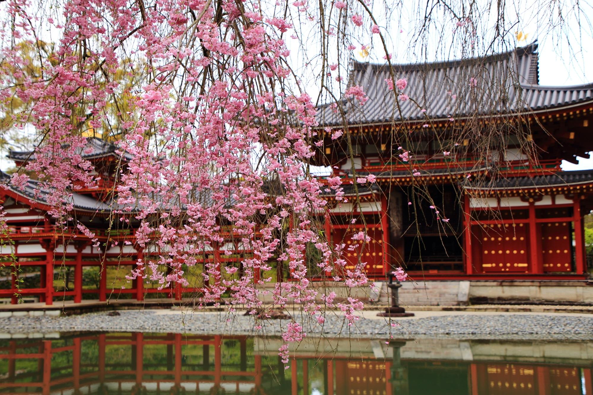 鳳凰堂としだれ桜の絵になる春の風景