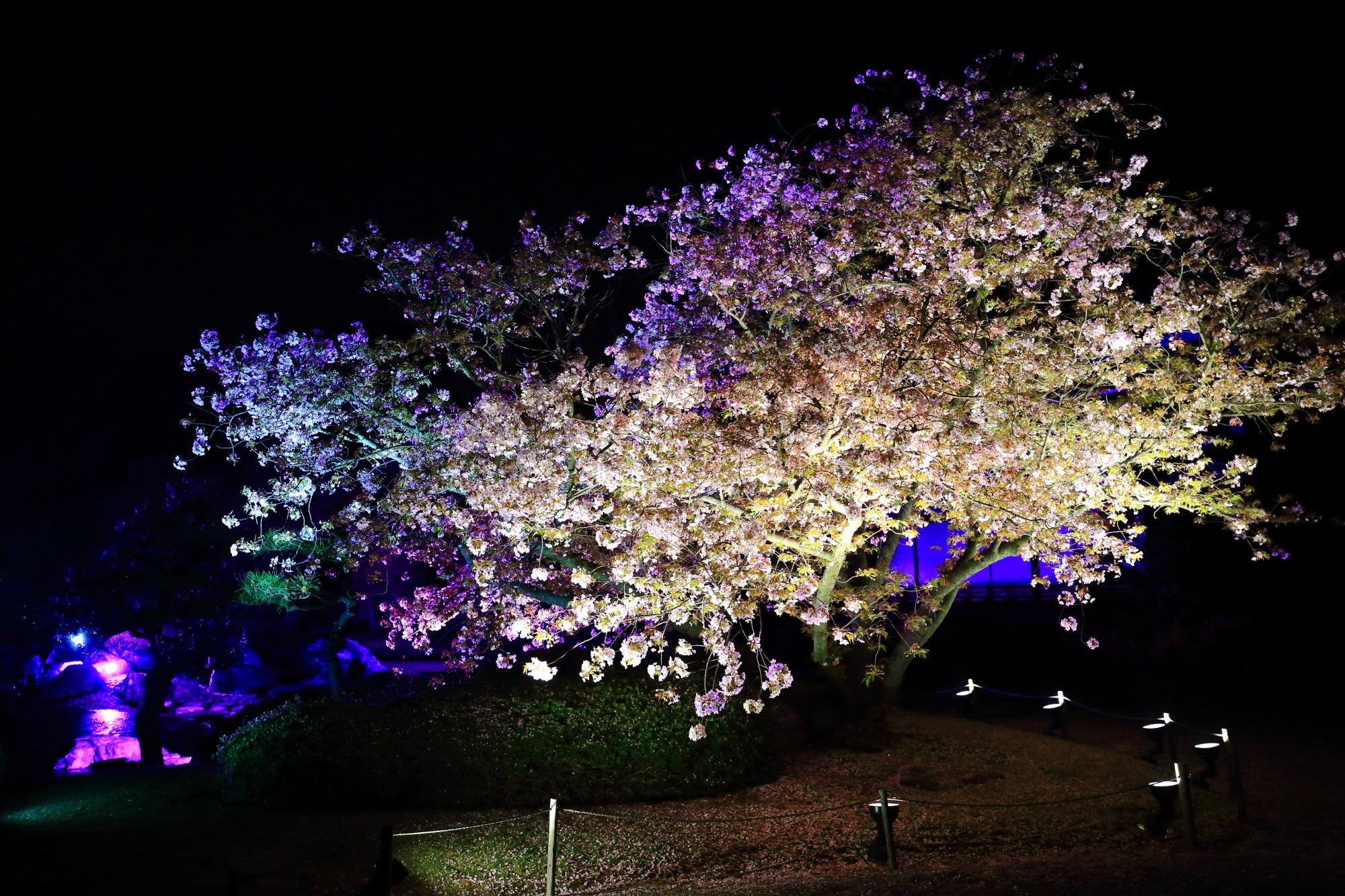 幻想的な光に照らされ浮かび上がる夜桜