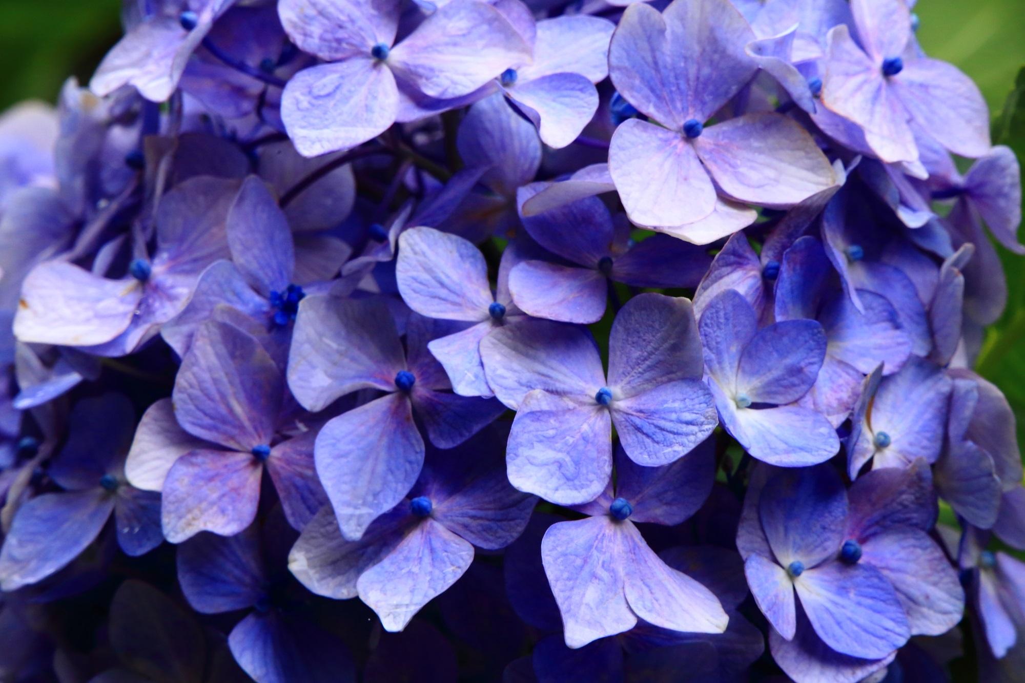 丹州観音寺の華やかに煌く紫陽花