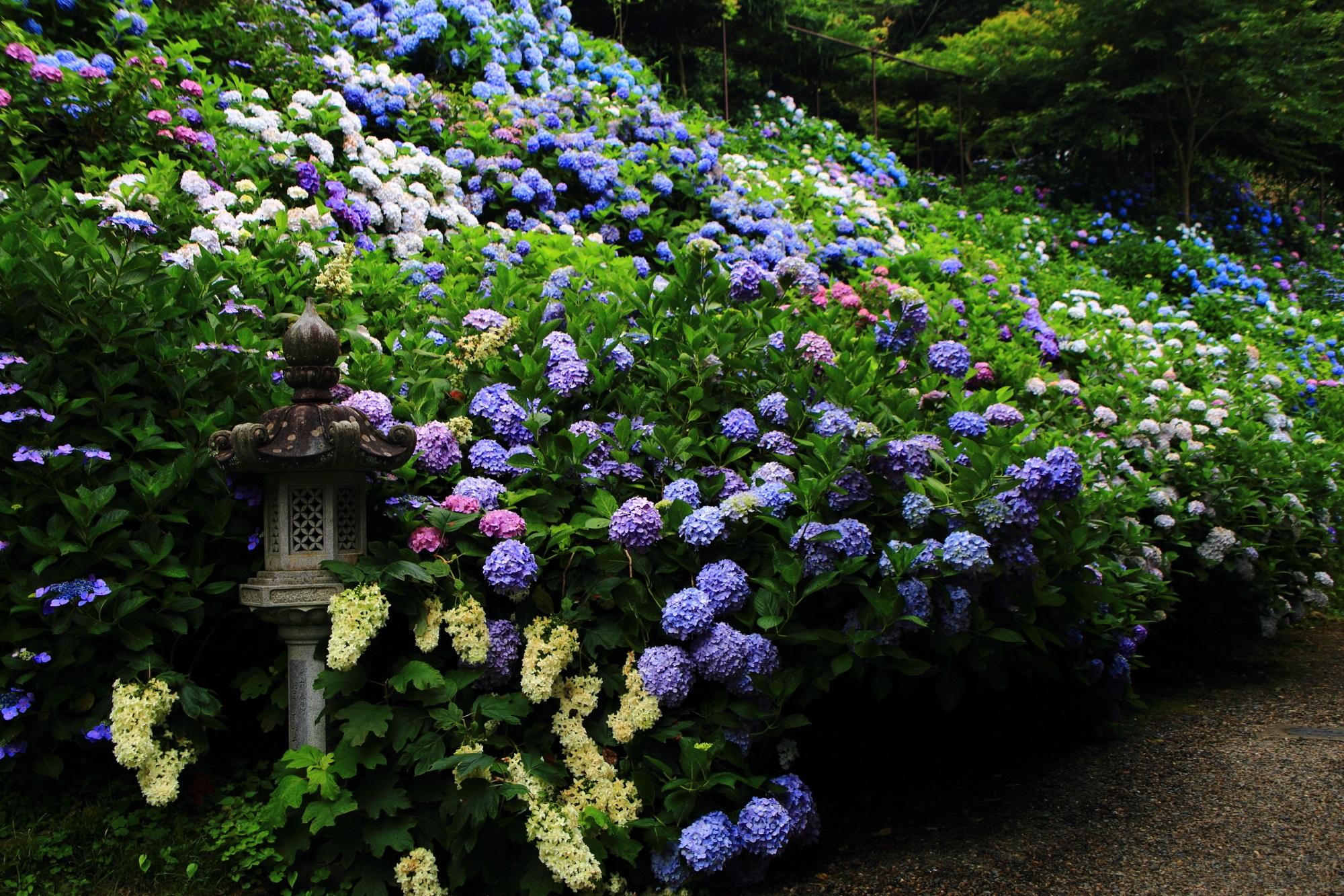 「丹波あじさい寺」とも呼ばれる福知山の丹州観音寺