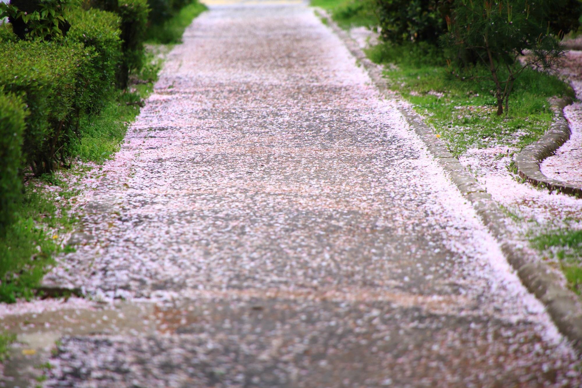 岡崎疏水の冷泉通付近の続くピンクの桜の道