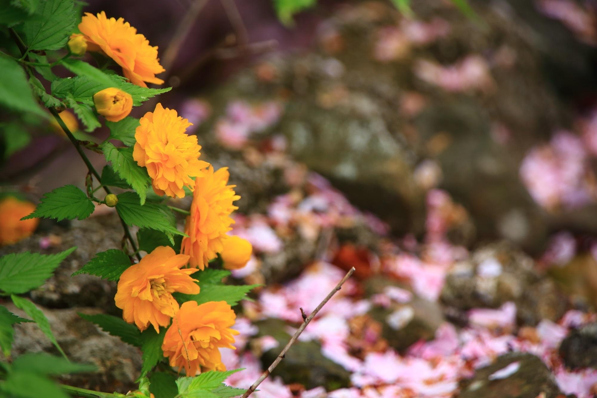 ピンクの散り桜を背景にした咲き誇る黄色い山吹