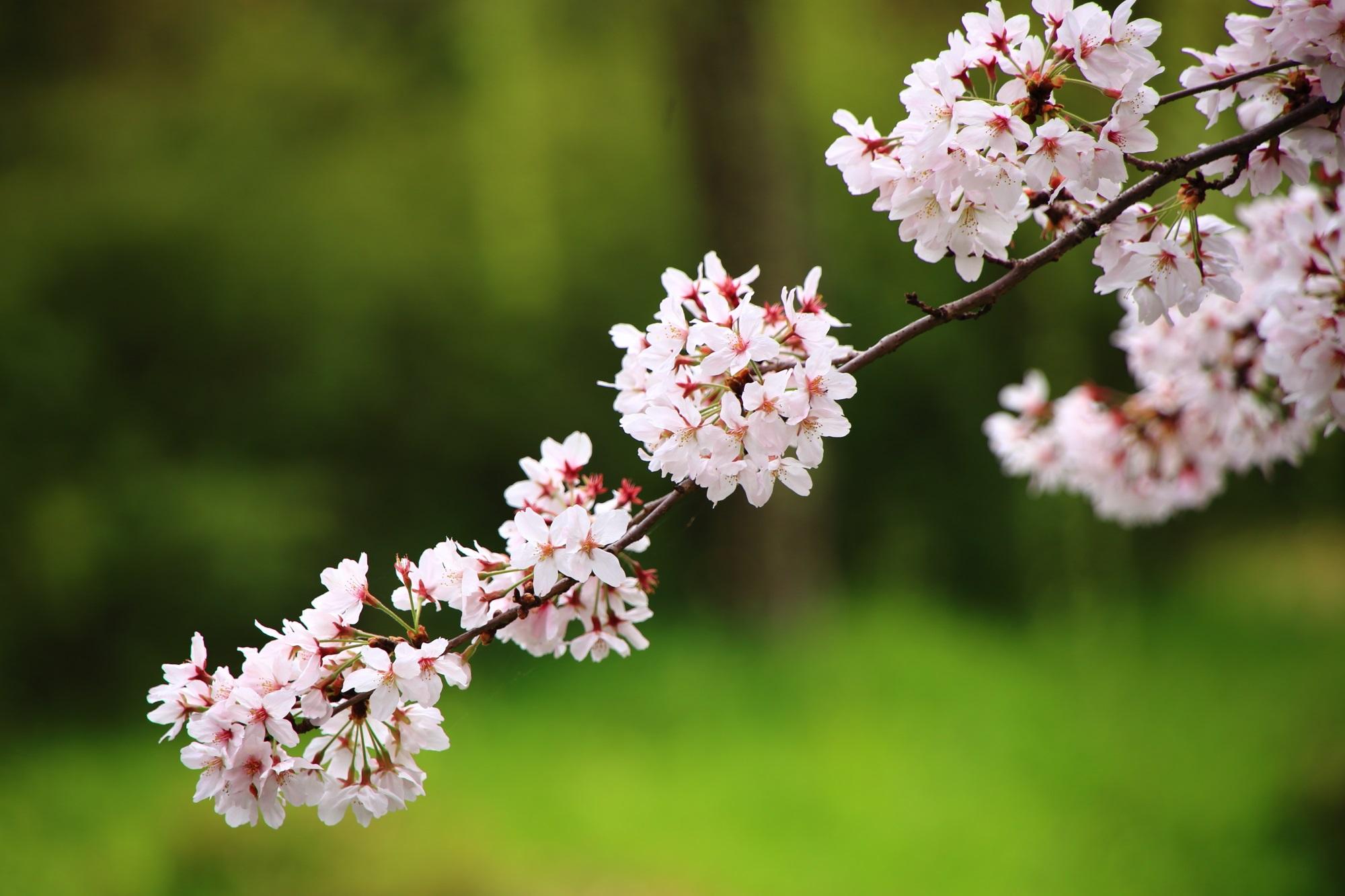 しなやかに揺らぐ可憐な桜の花