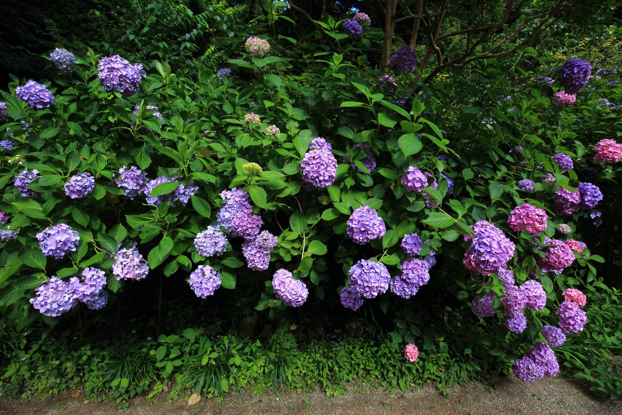 色とりどりの満開の紫陽花がこぼれ落ちそうになっている岩船寺
