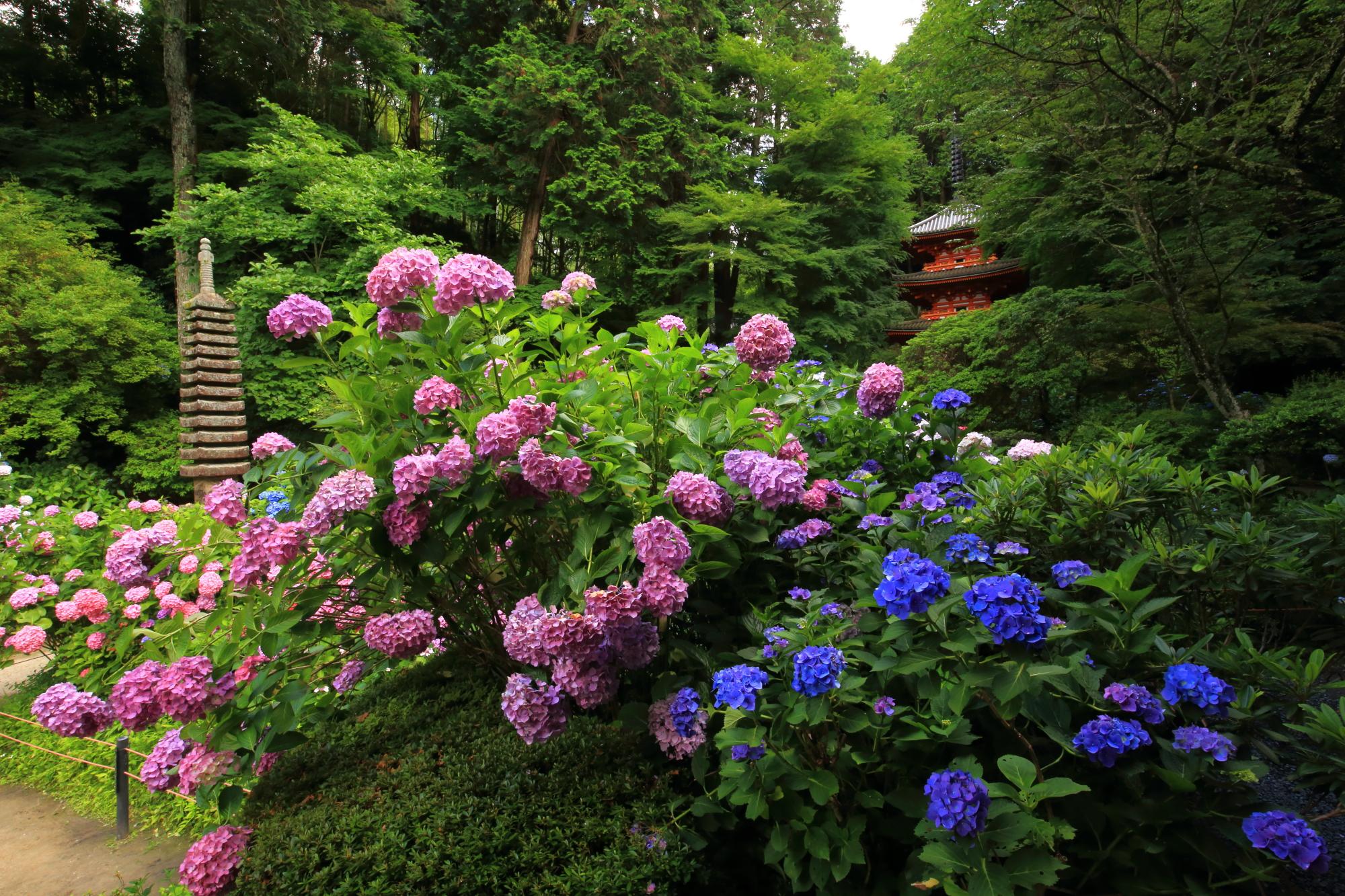 岩船寺の濃い青の紫陽花