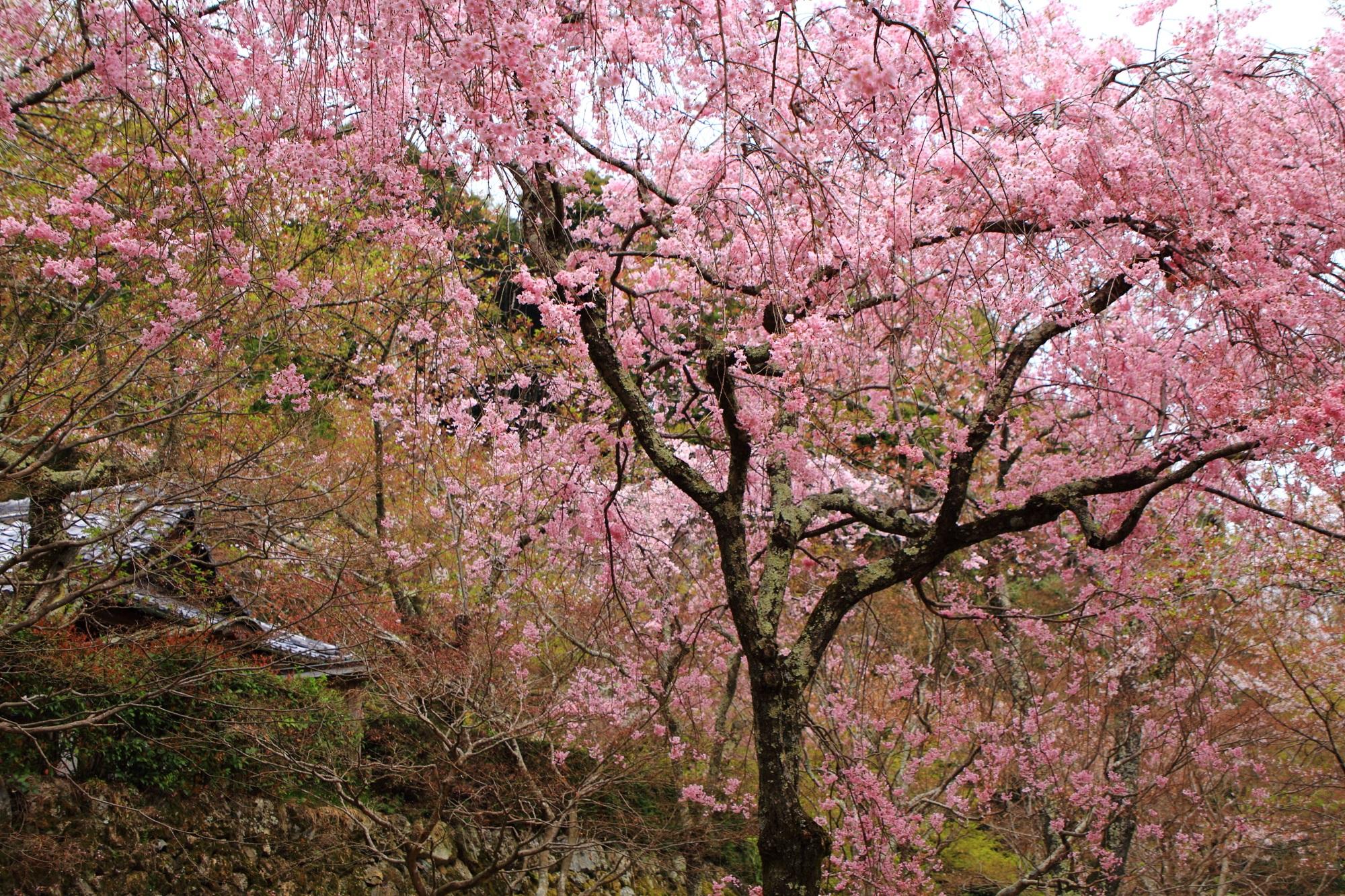 予想以上に豪快に咲く勝持寺のしだれ桜