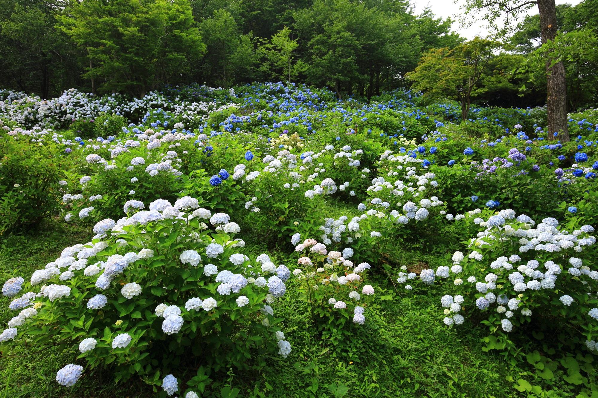 舞鶴自然文化園の緑の中から溢れ出す数え切れない紫陽花