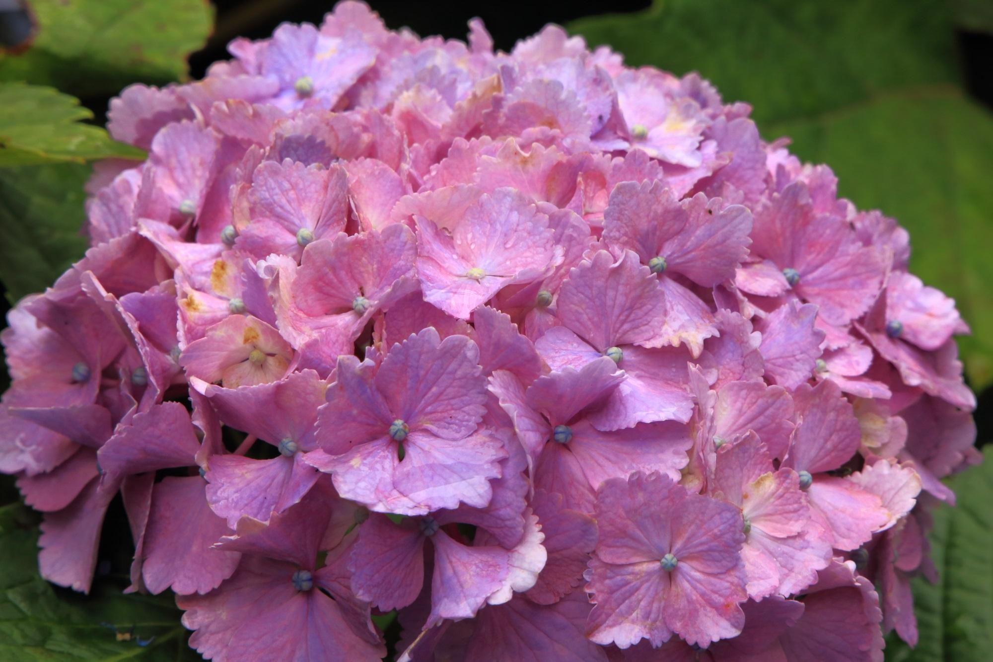 丹波あじさい寺の濃いめのピンクのオーソドックスな紫陽花