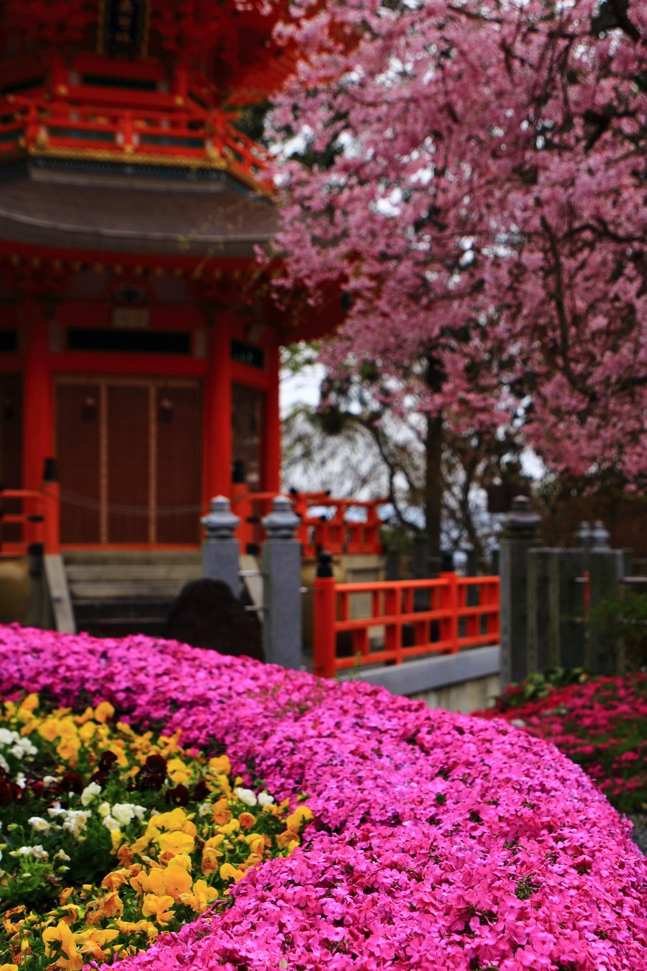 正法寺のしだれ桜が降り注ぐ良く手入れされた見事な芝桜