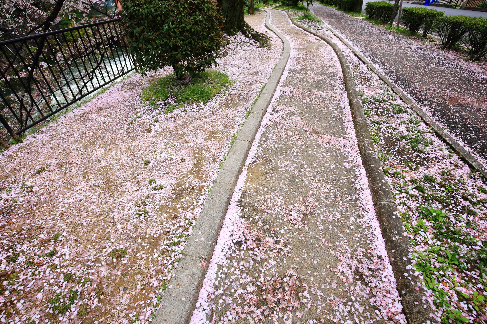 歩くのが少し申し訳なくなる見事な桜の道