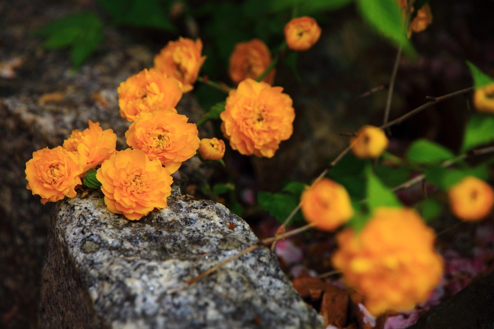 石の上で健気に咲く鮮やかな山吹