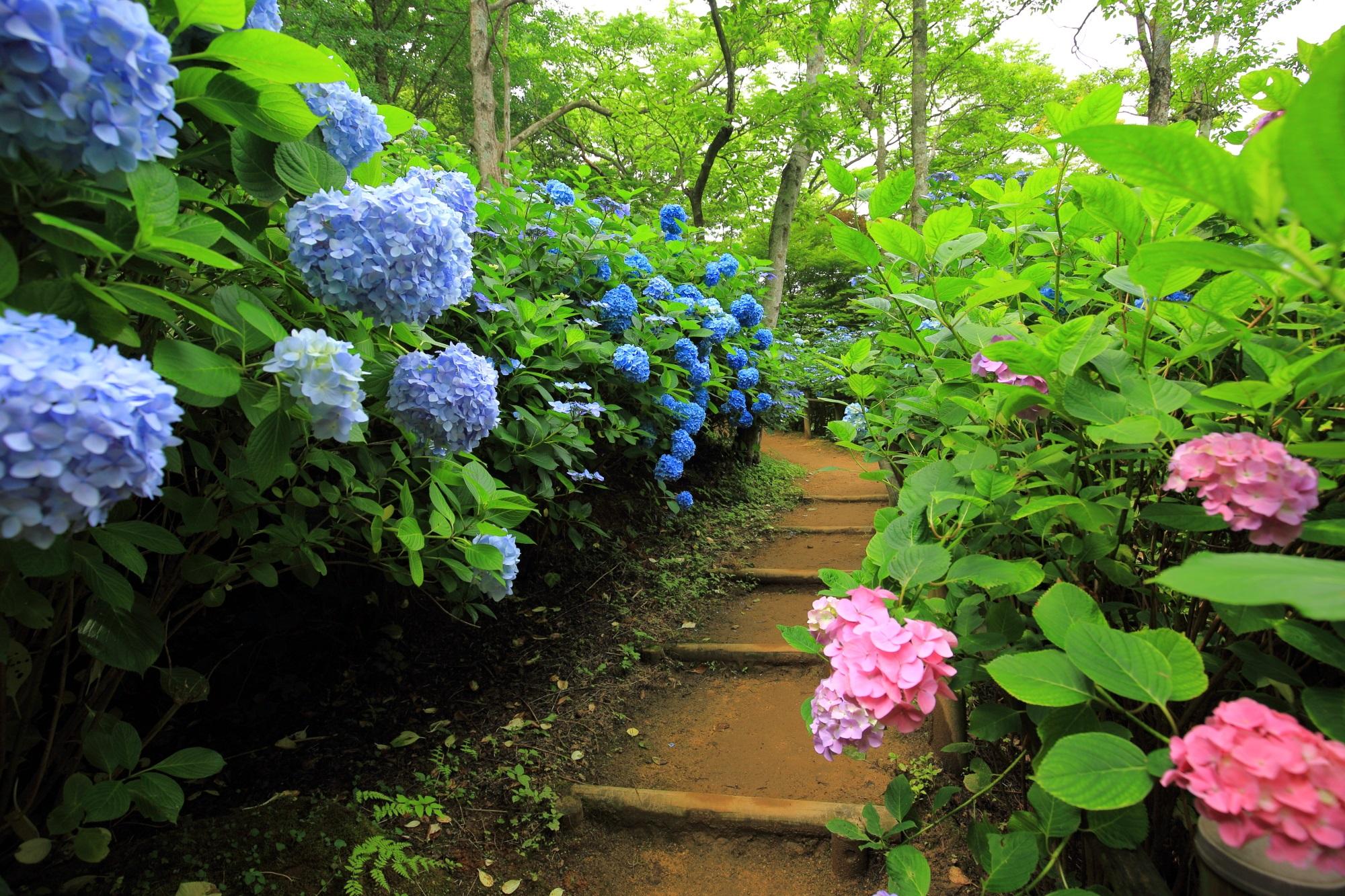 舞鶴自然文化園の緑と彩りにつつまれた紫陽花の小道