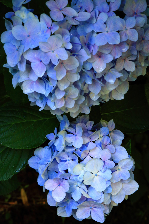 青と白のグラデーションが見事な紫陽花
