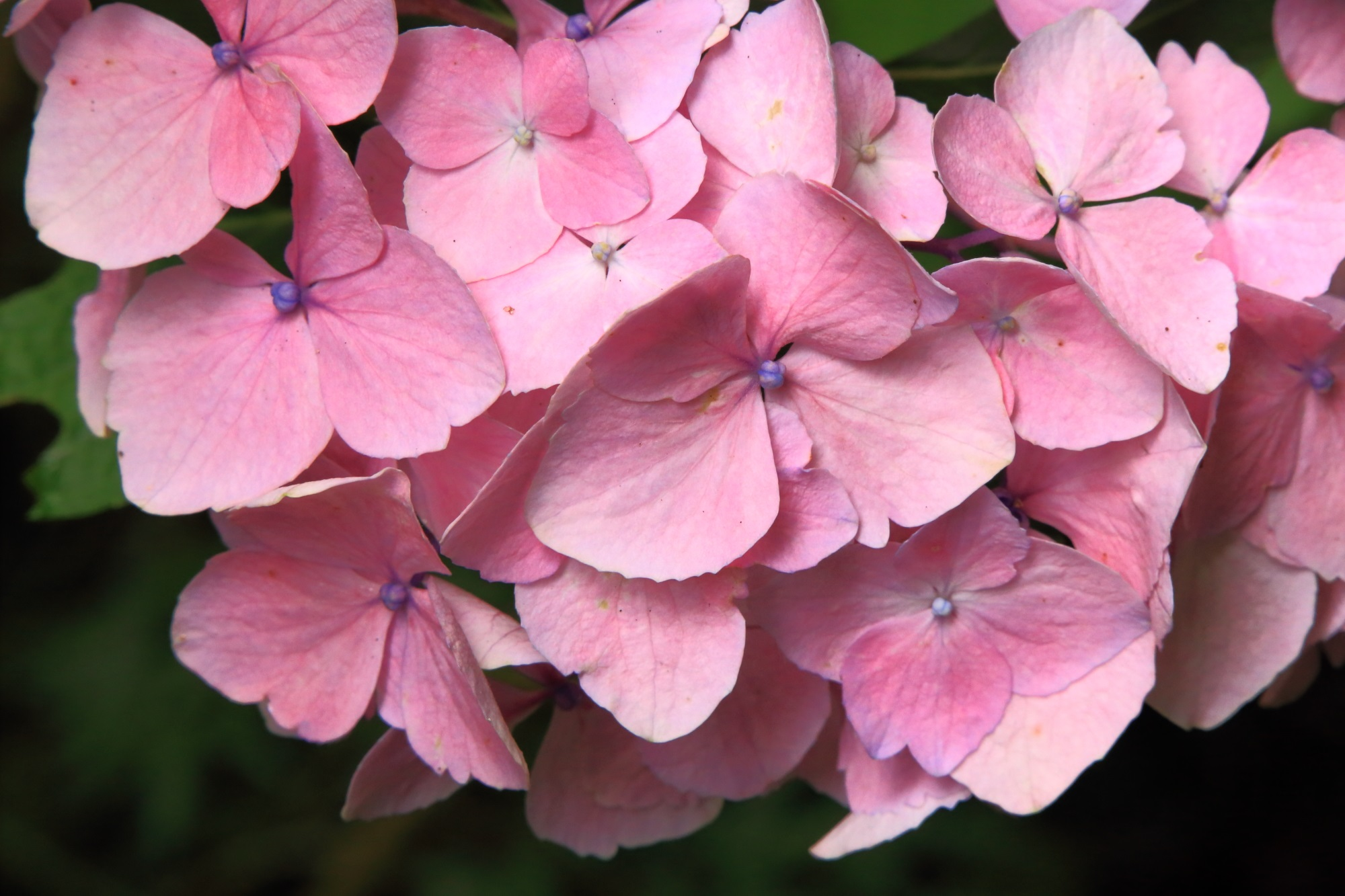 岩船寺の華やかで明るいピンクの紫陽花