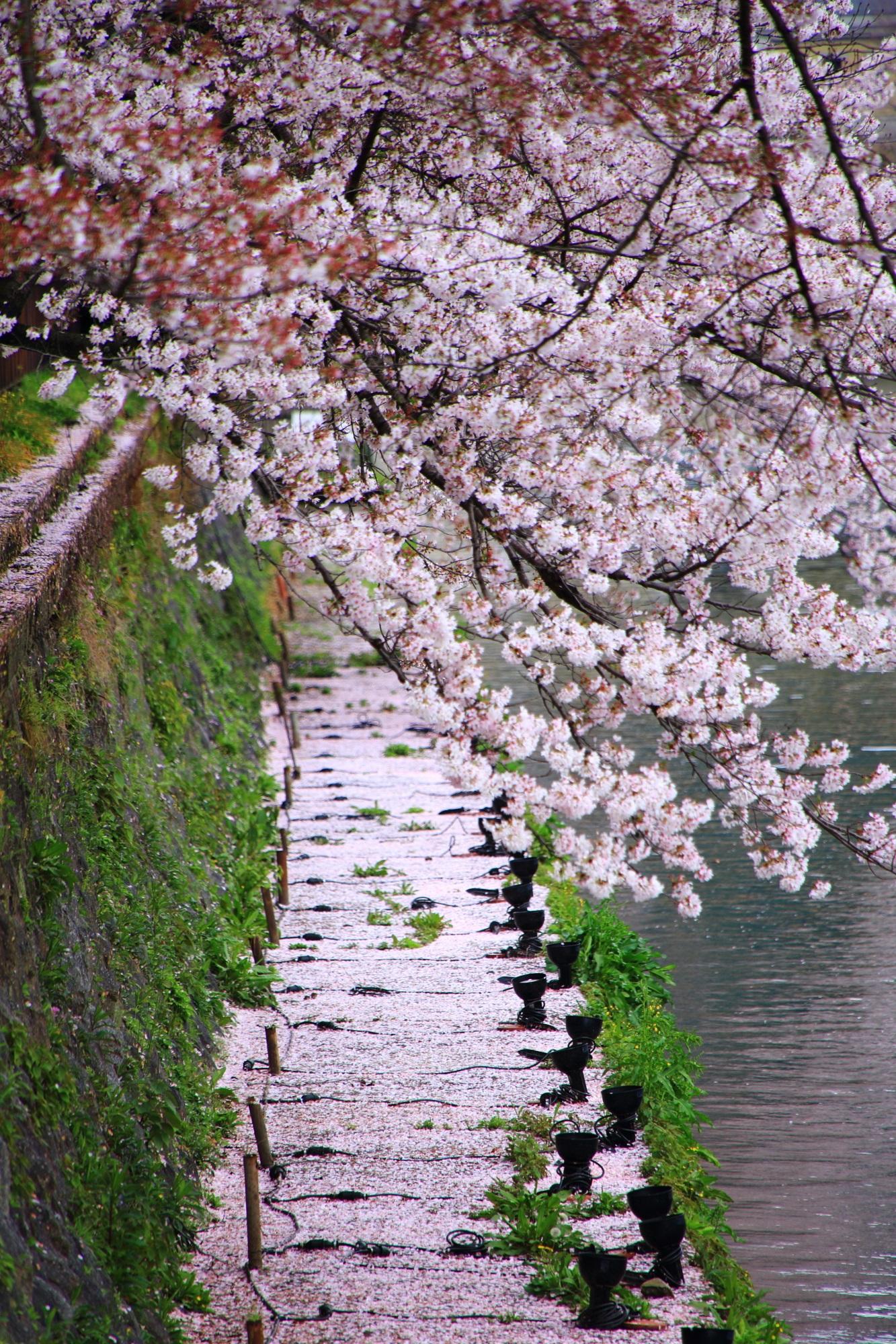岡崎疏水の素晴らしい散り桜と春の情景