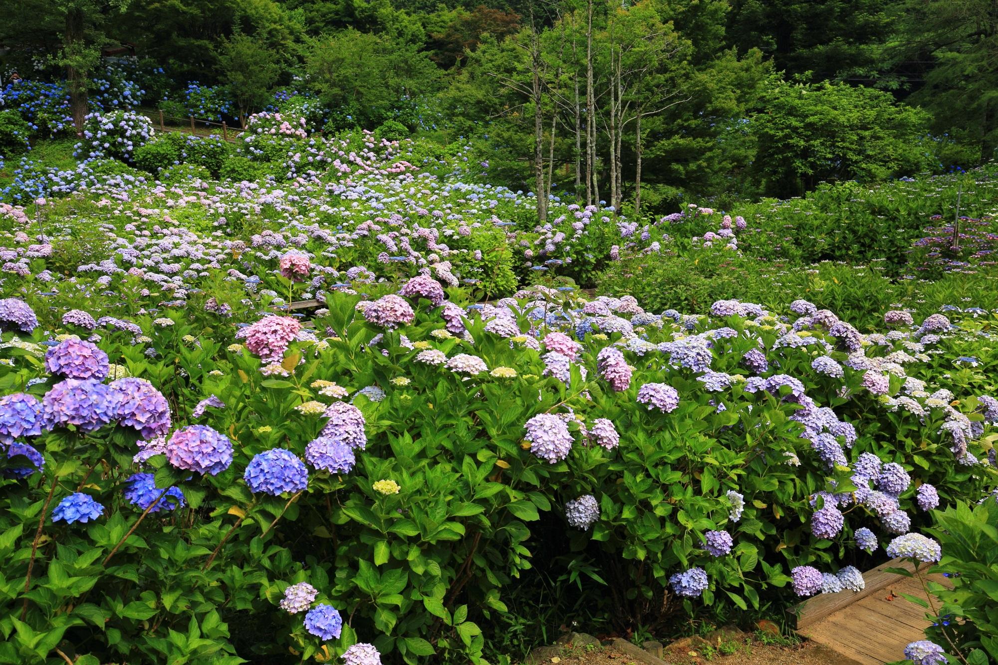 紫陽花を見すぎて頭がだんだんおかしくなるような舞鶴自然文化園