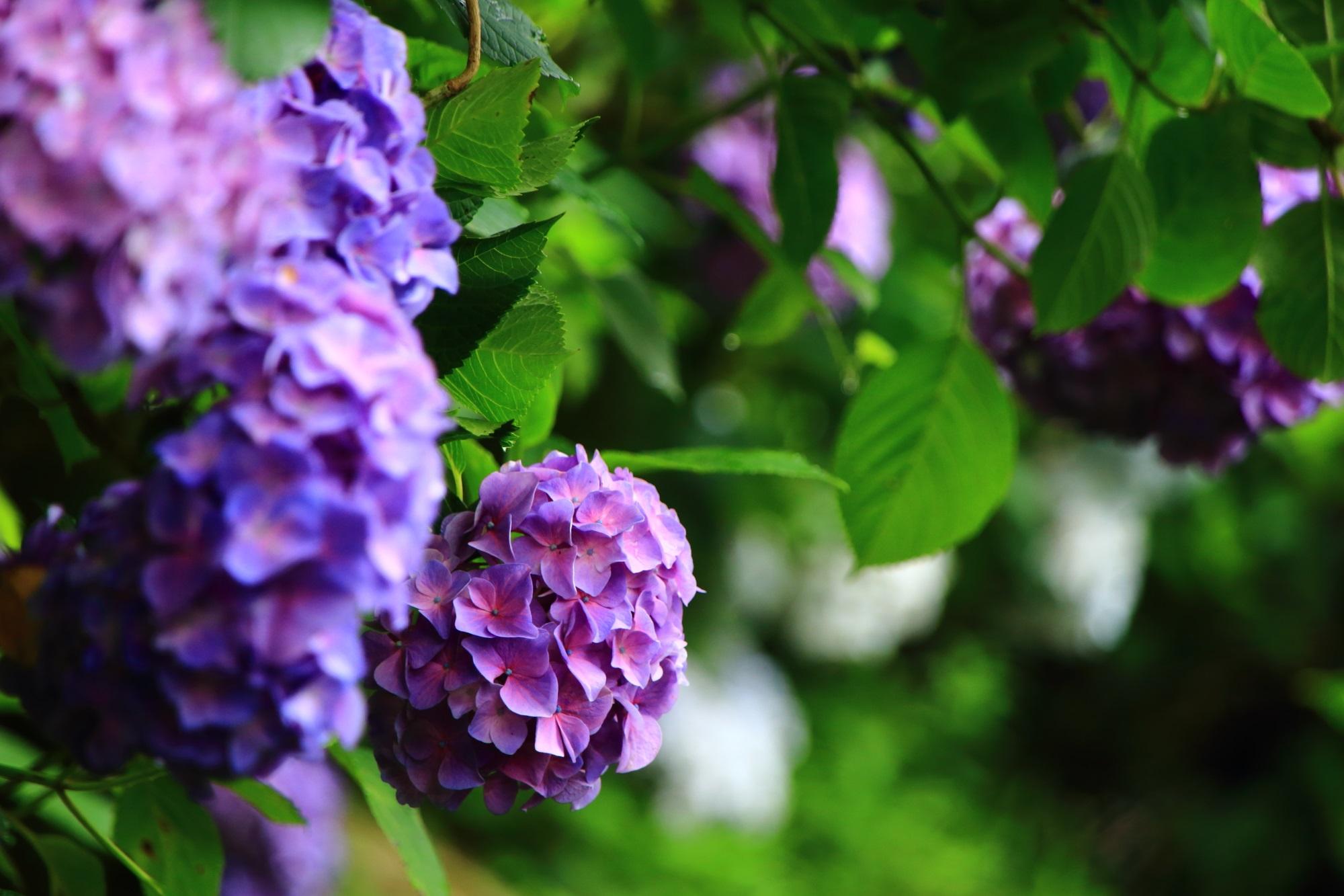 七観音巡りの小道の風情ありすぎる落ち着いた紫陽花