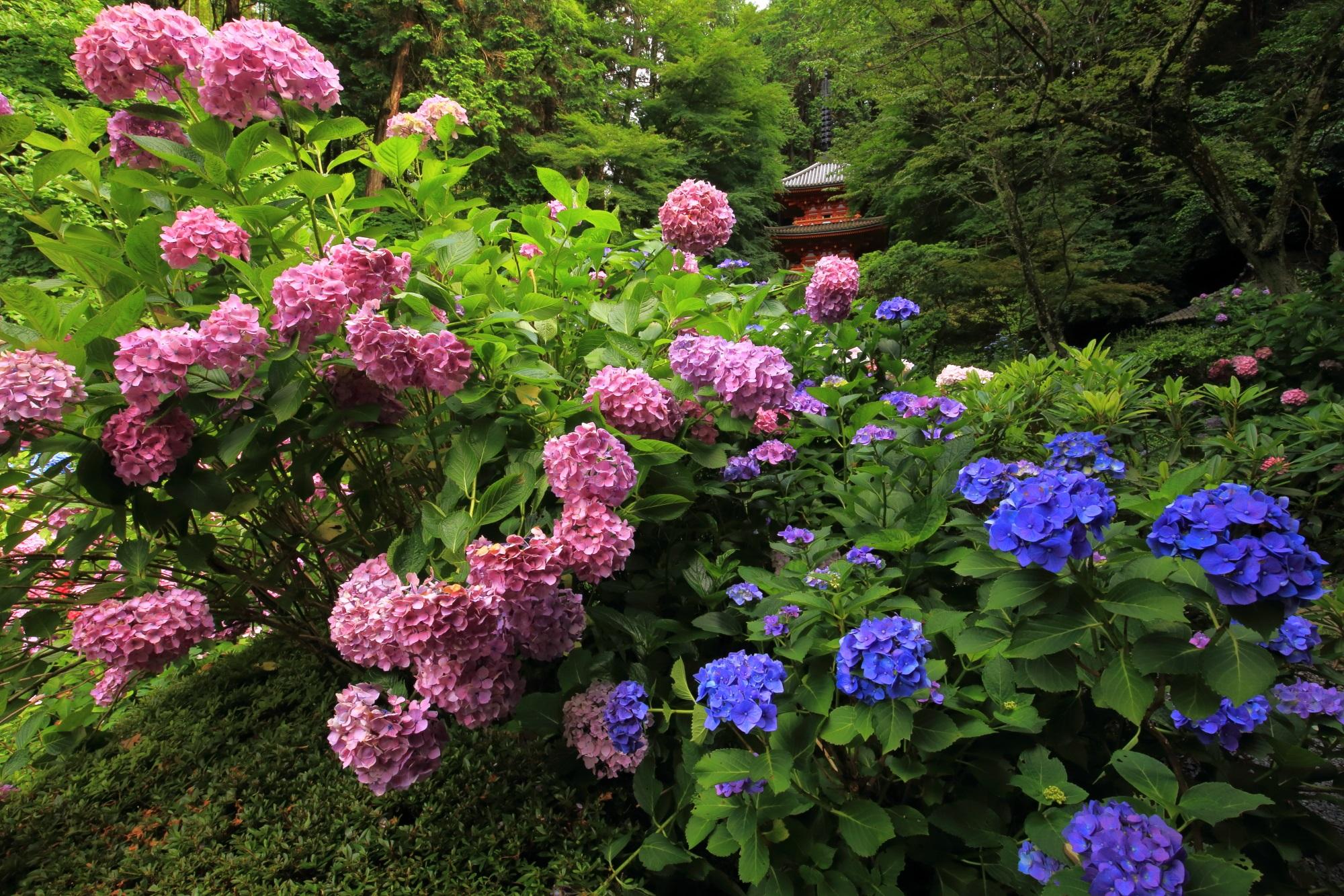 岩船寺のピンクの紫陽花と青の紫陽花の見事な色のコントラスト