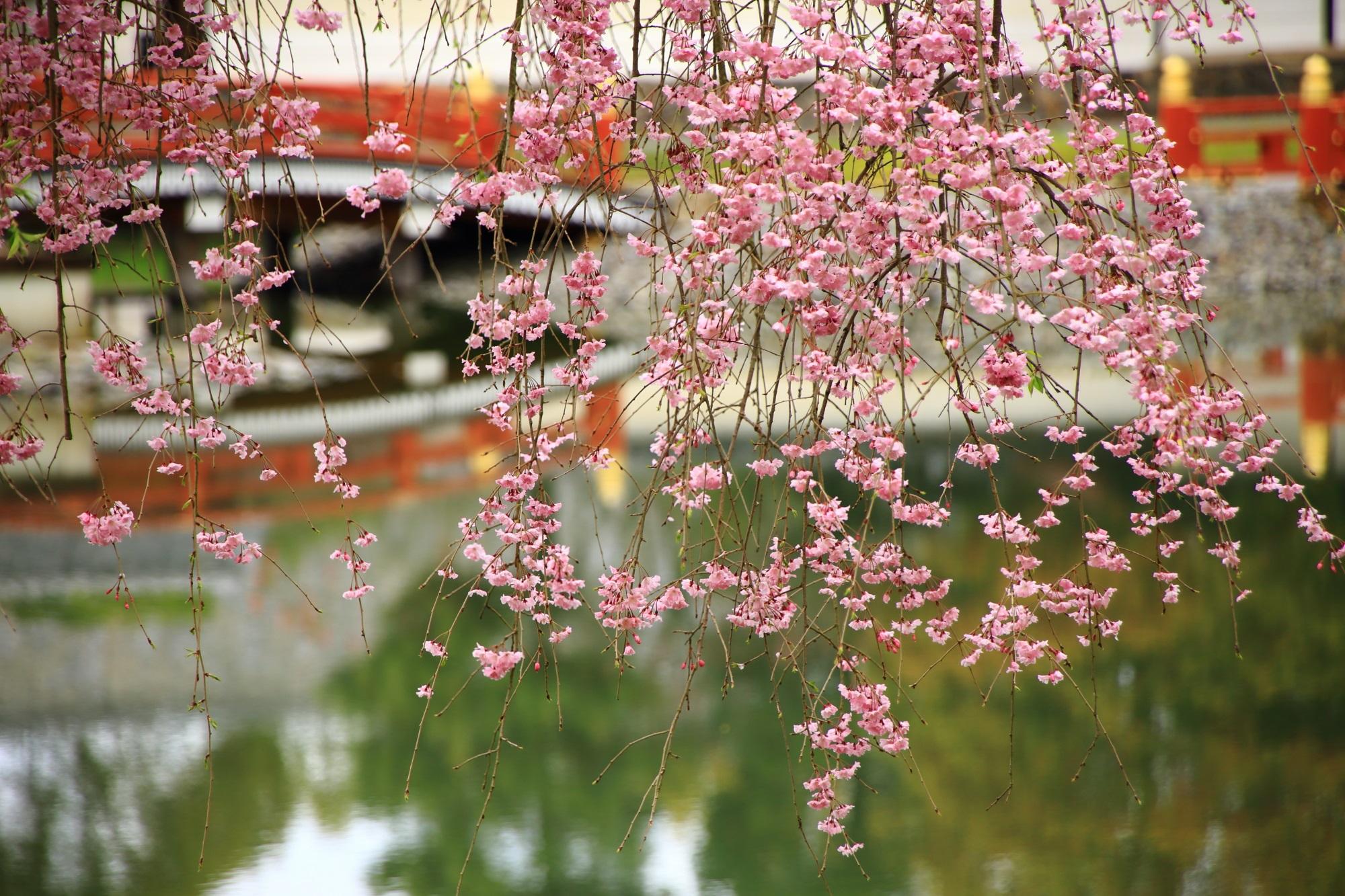 水面を鮮やかに染める可憐は桜の花