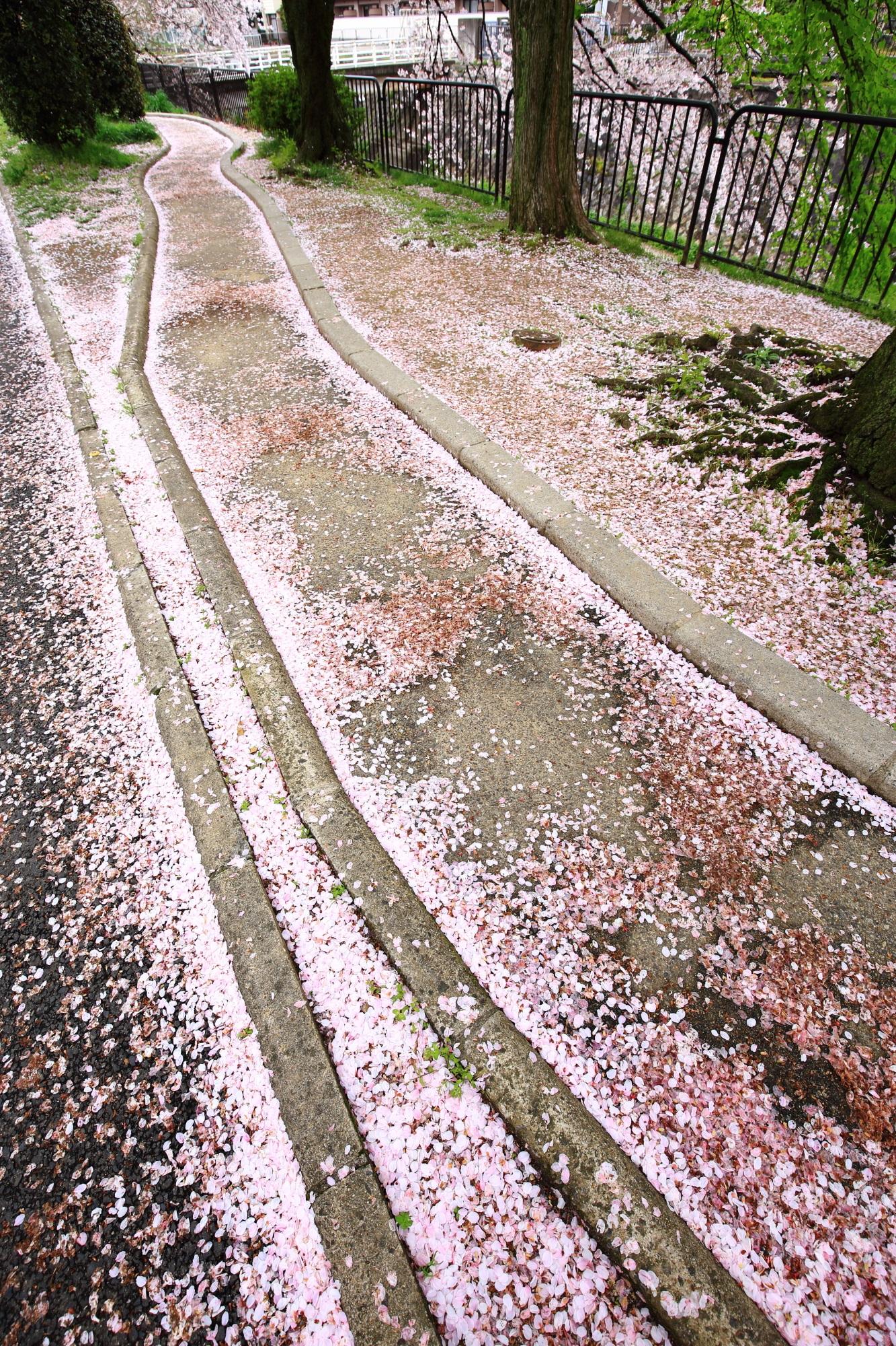 圧巻の散り桜の華やかな道