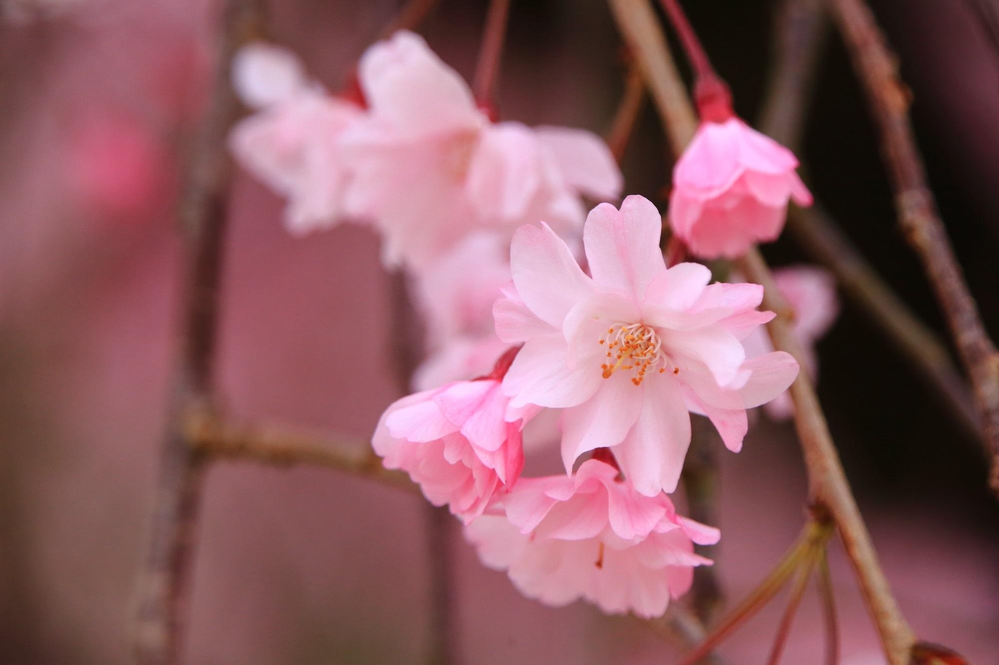 しだれ桜が咲かせるピンクの可愛い花びら