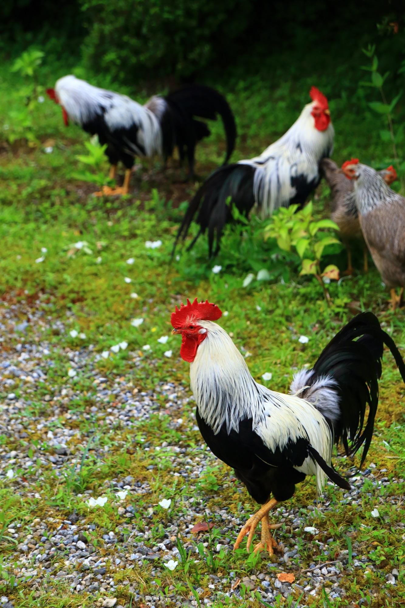 丹波あじさいの慣れている逃げない鶏さん