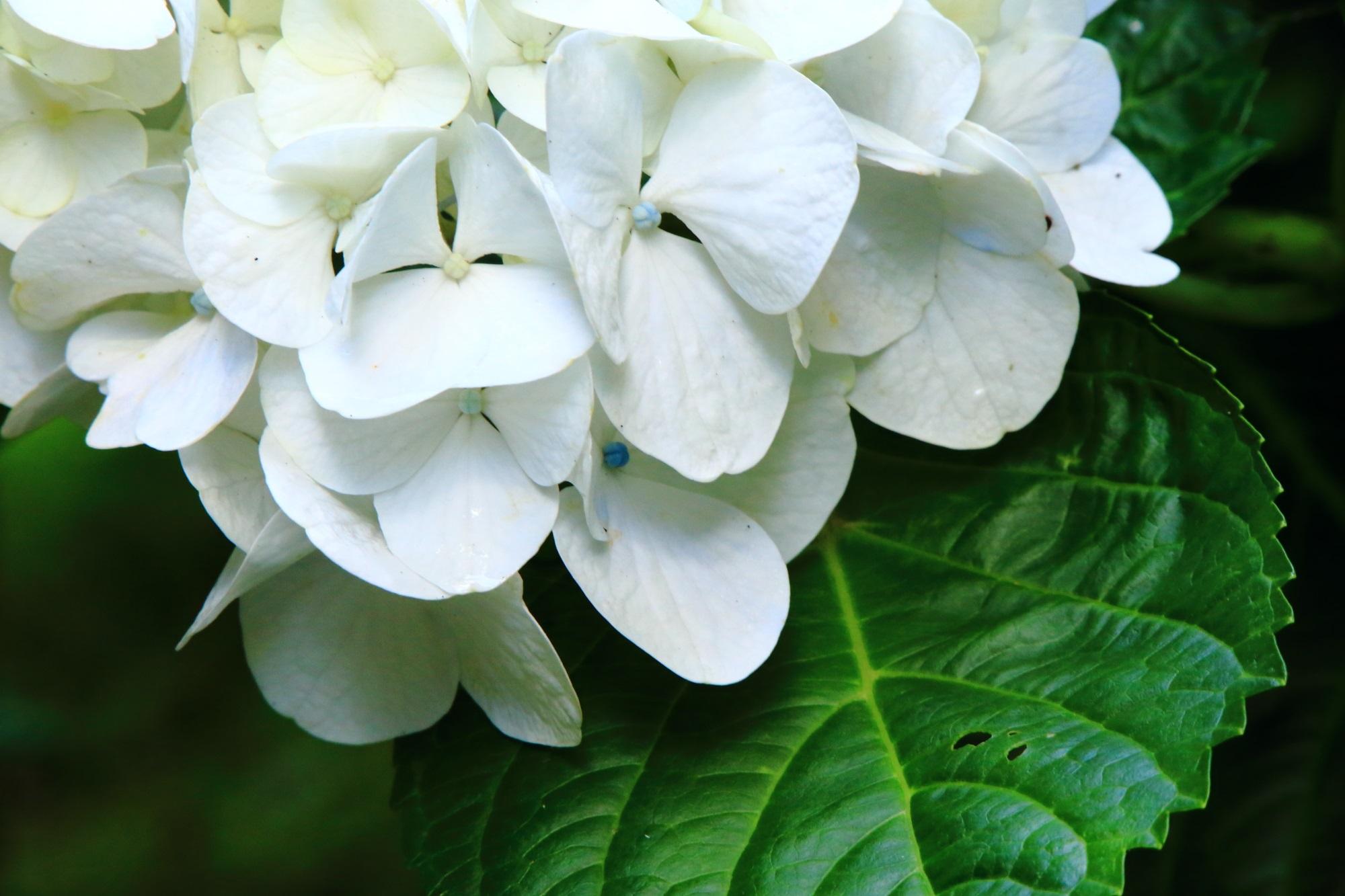 爽やかな白い花の華やかな紫陽花