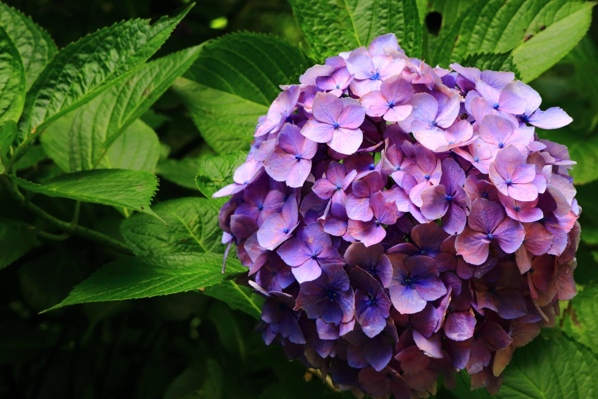 鮮やかな緑の葉に映える艶やかな紫の紫陽花