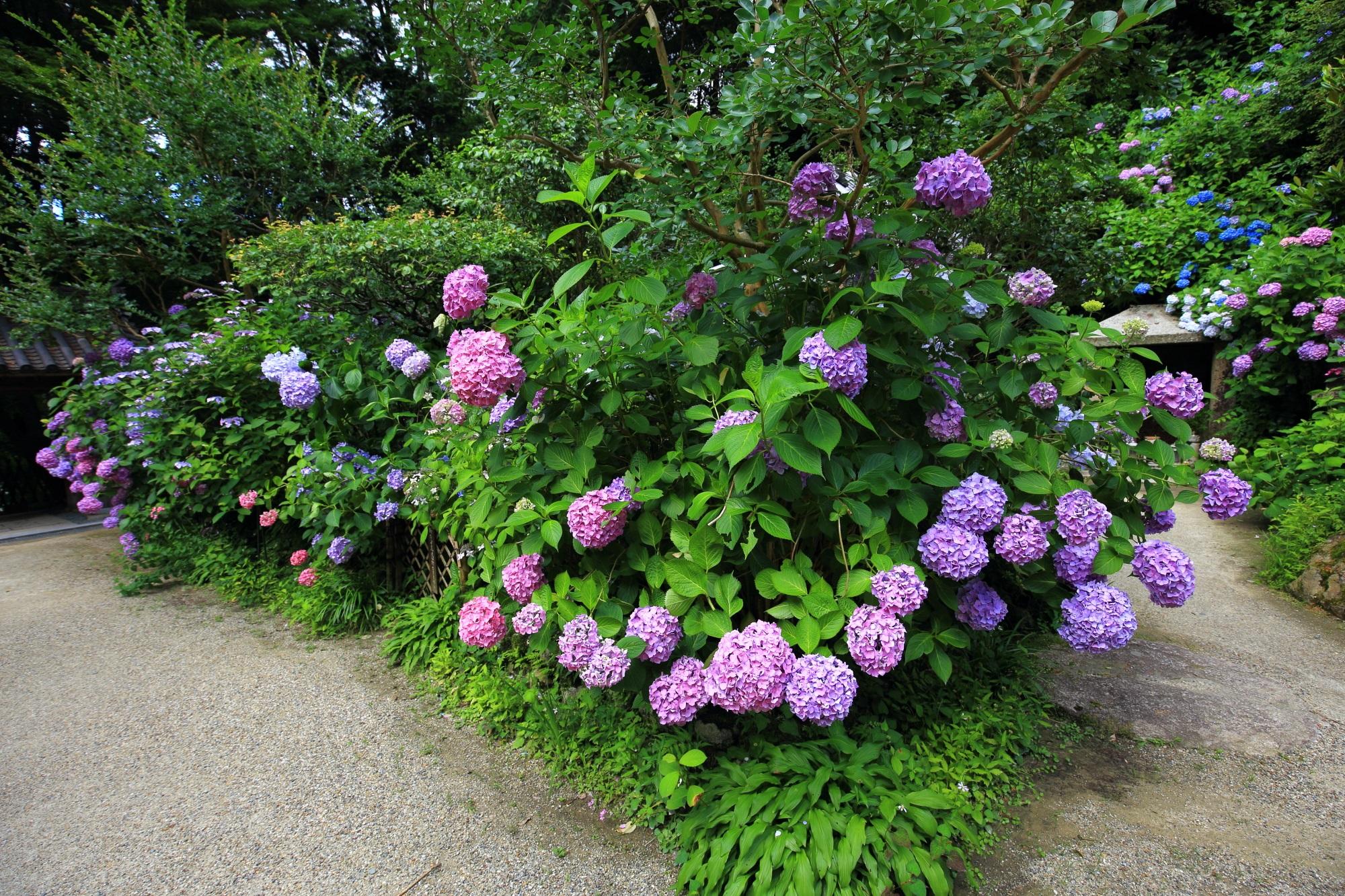 鮮やかな紫陽花でいっぱいの岩船寺の参道