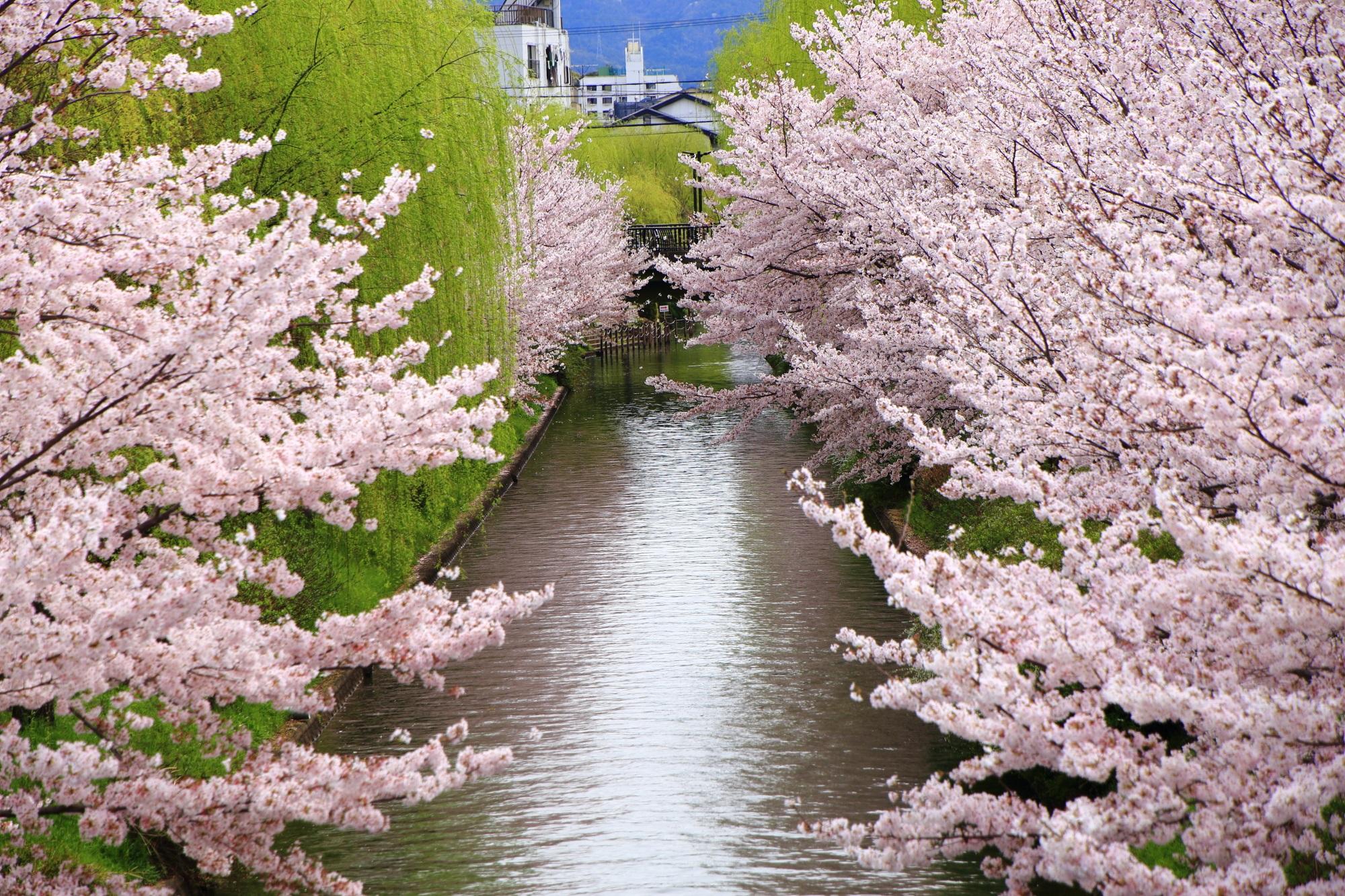 宇治川派流の桜と柳