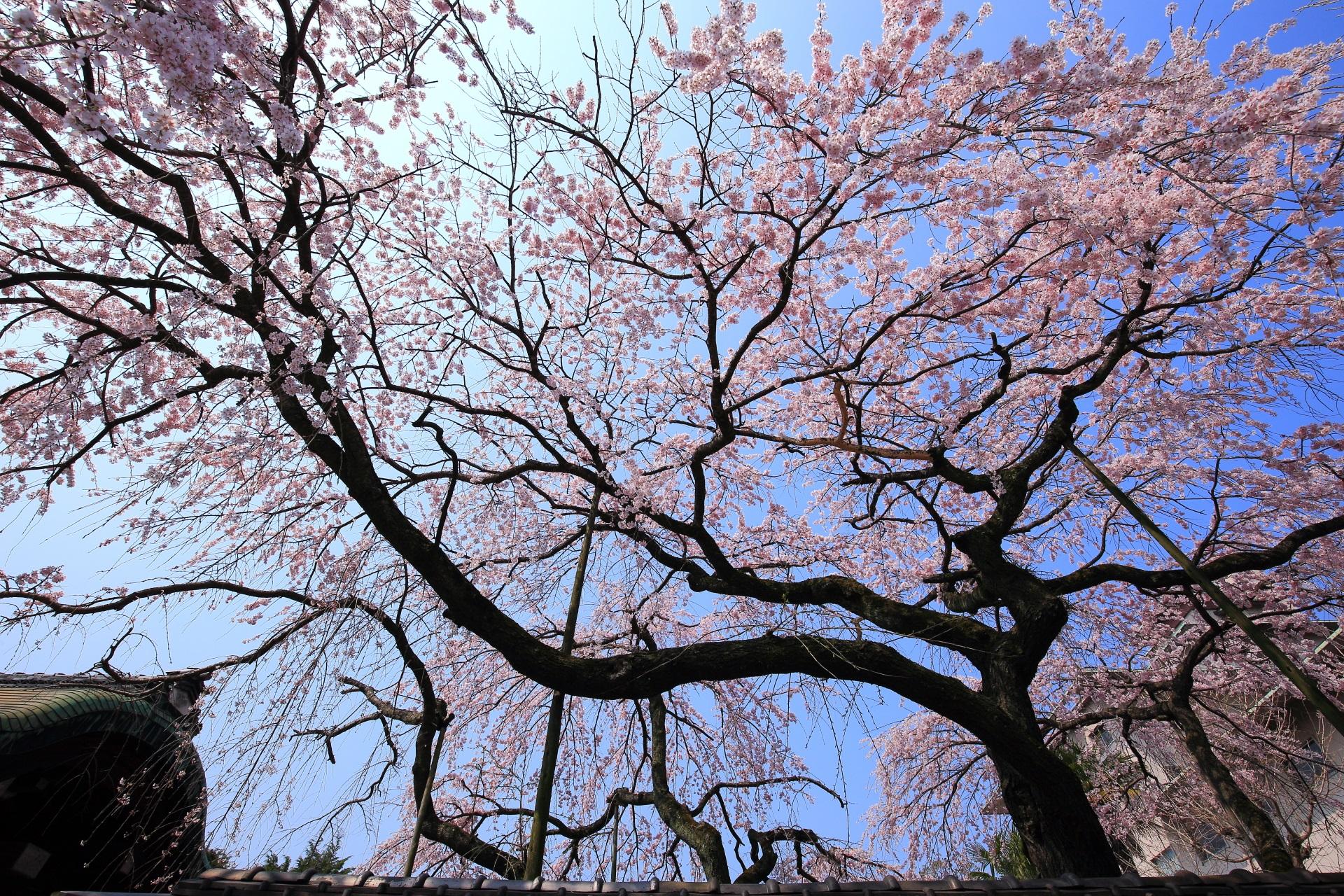 青空から降り注ぐ有栖館の華やかな桜のシャワー