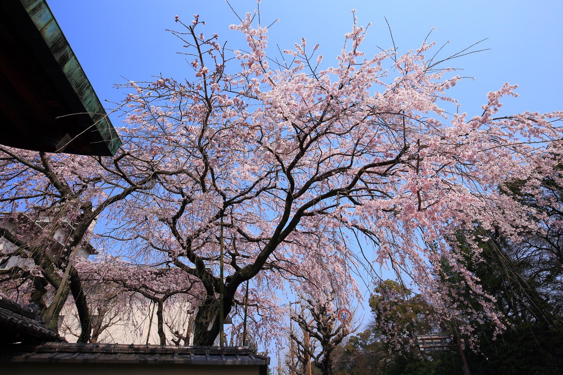 平安女学院有栖館前から見上げるしだれ桜