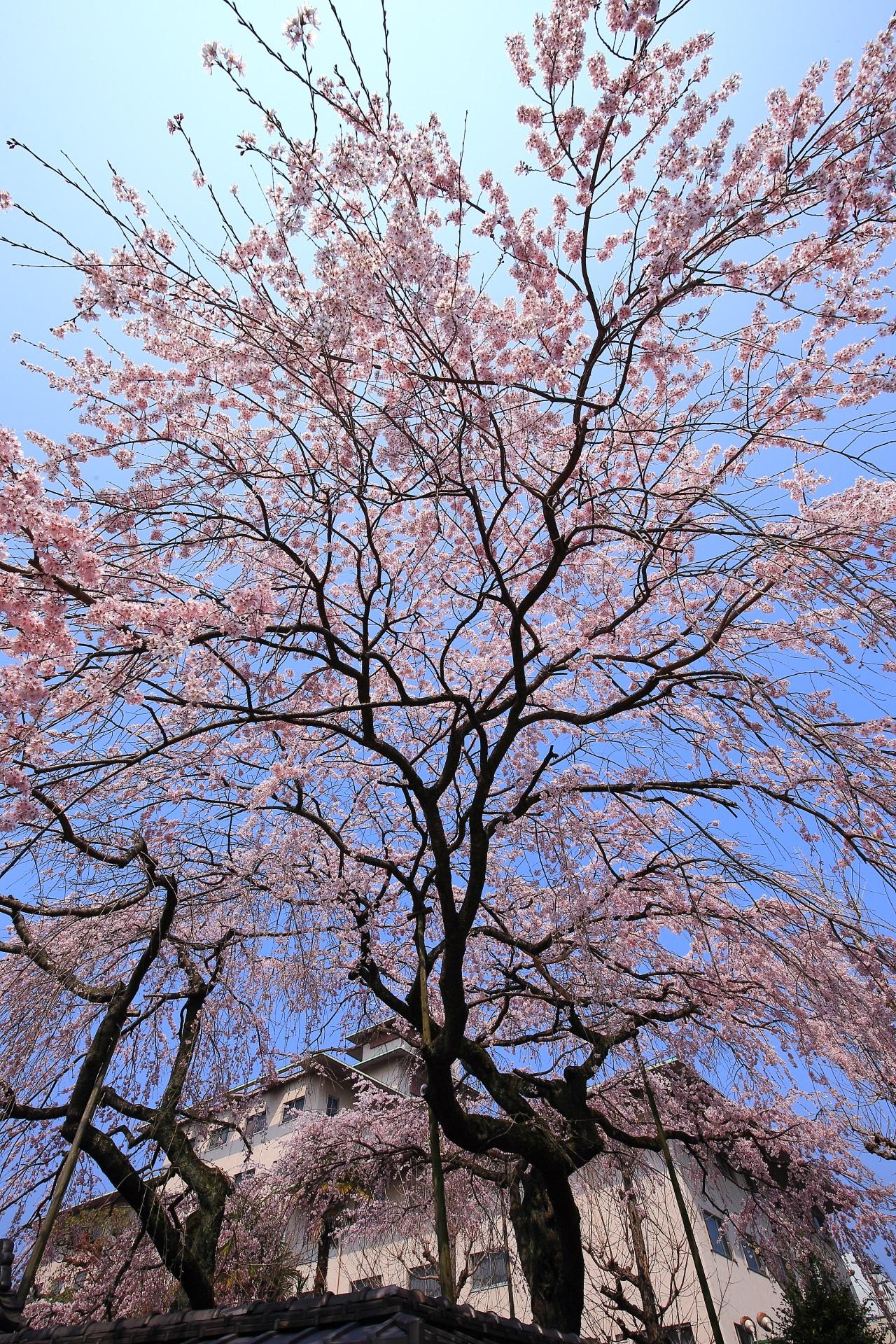 平安女学院 有栖館の春色の圧巻のしだれ桜