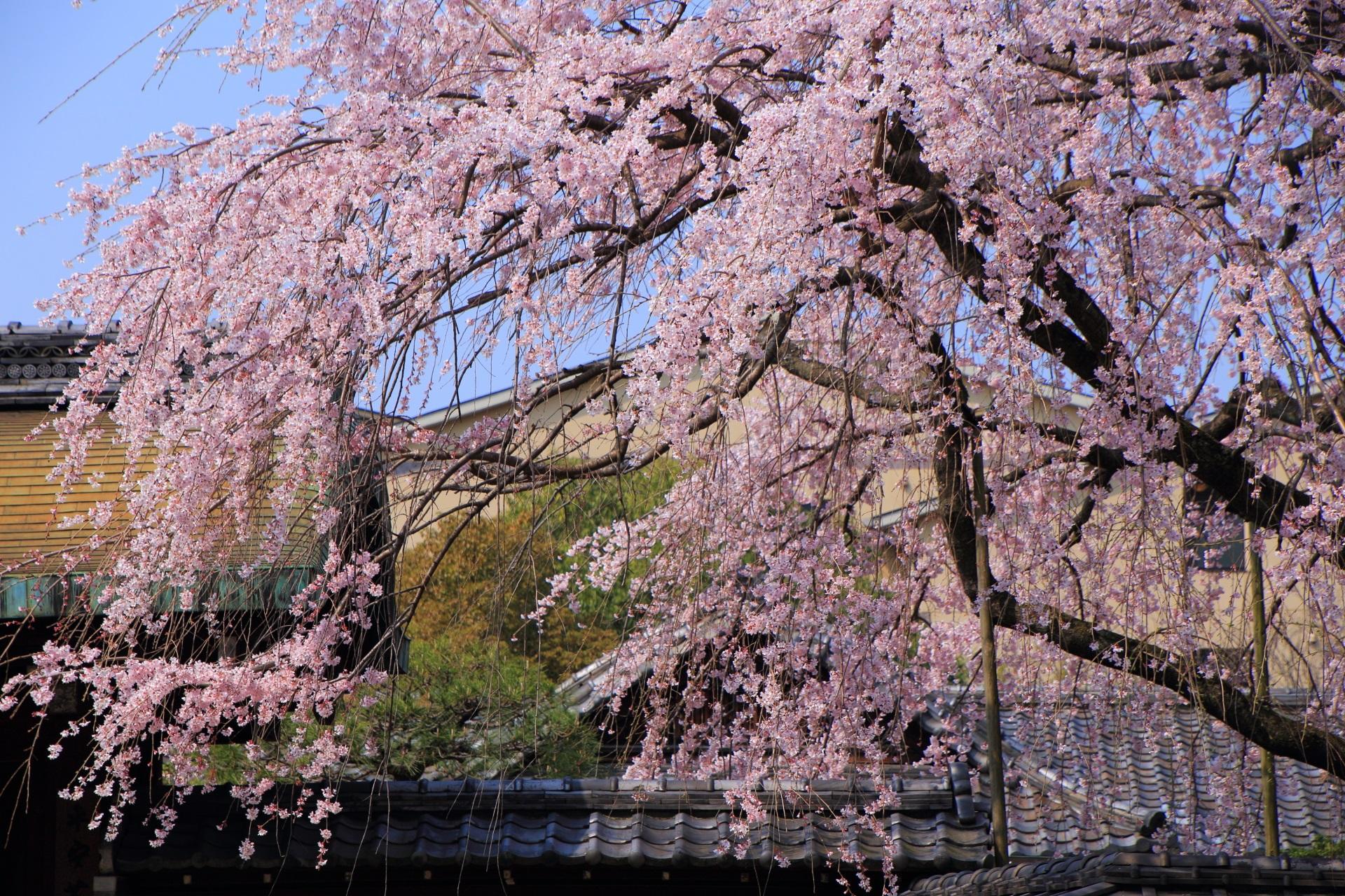 光を浴びて煌く有栖館のピンクのしだれ桜