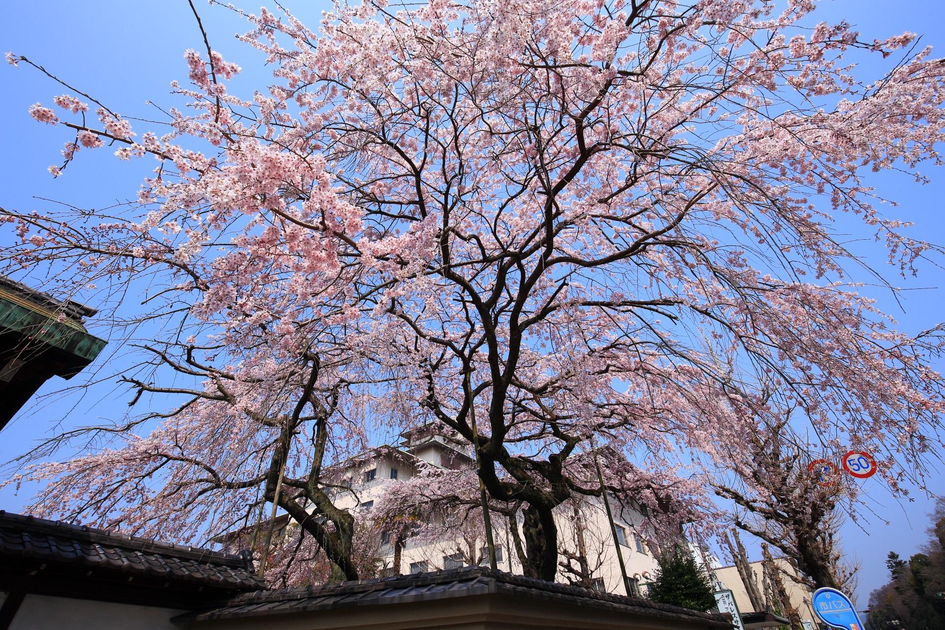 高画質 写真 平安女学院 有栖館 しだれ桜