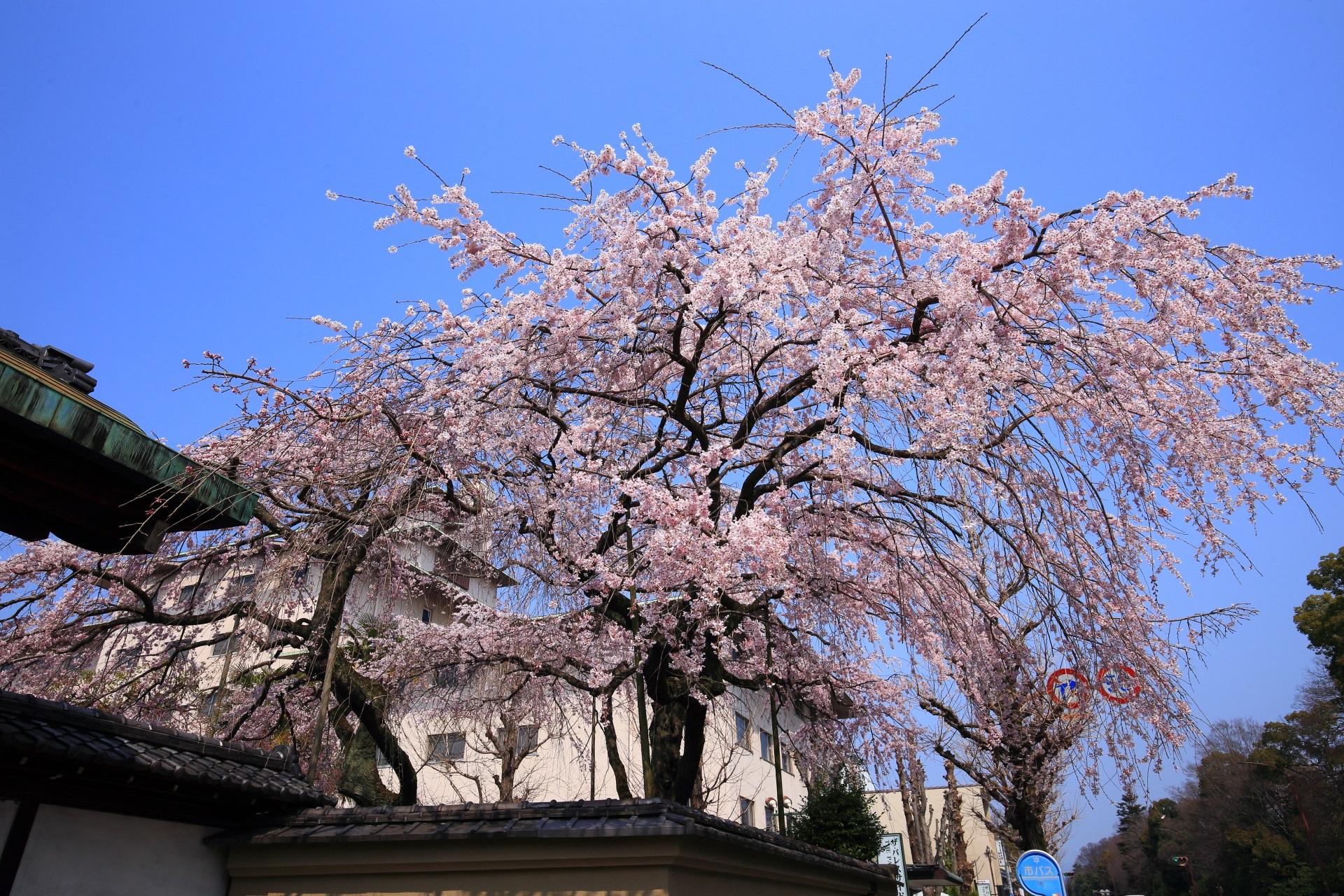 青空に映える有栖館のピンクのしだれ桜