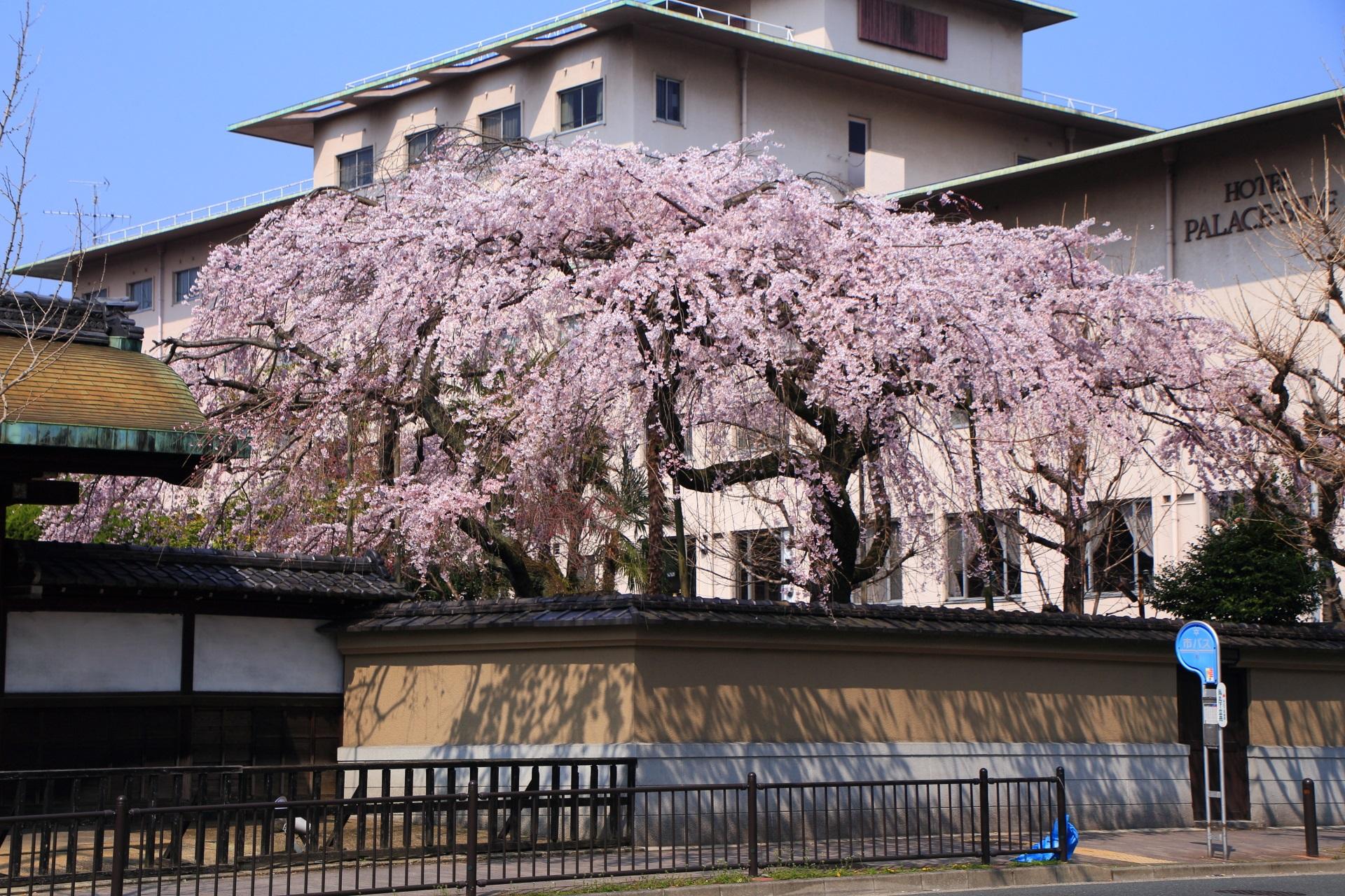 溢れんばかりに花を咲かせる満開の平安女学院有栖館のしだれ桜