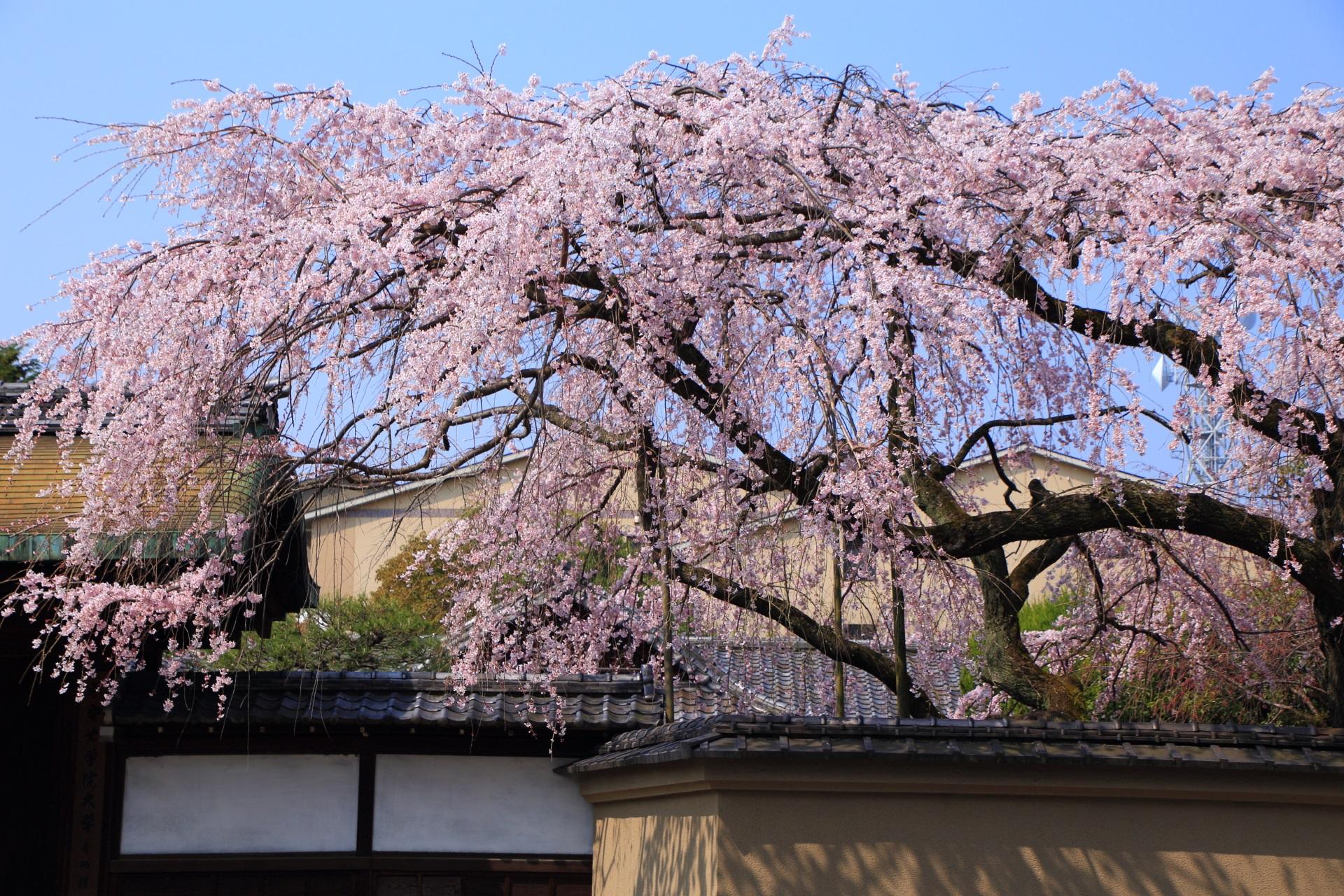 平安女学院有栖館の降り注ぐ豪快なしだれ桜