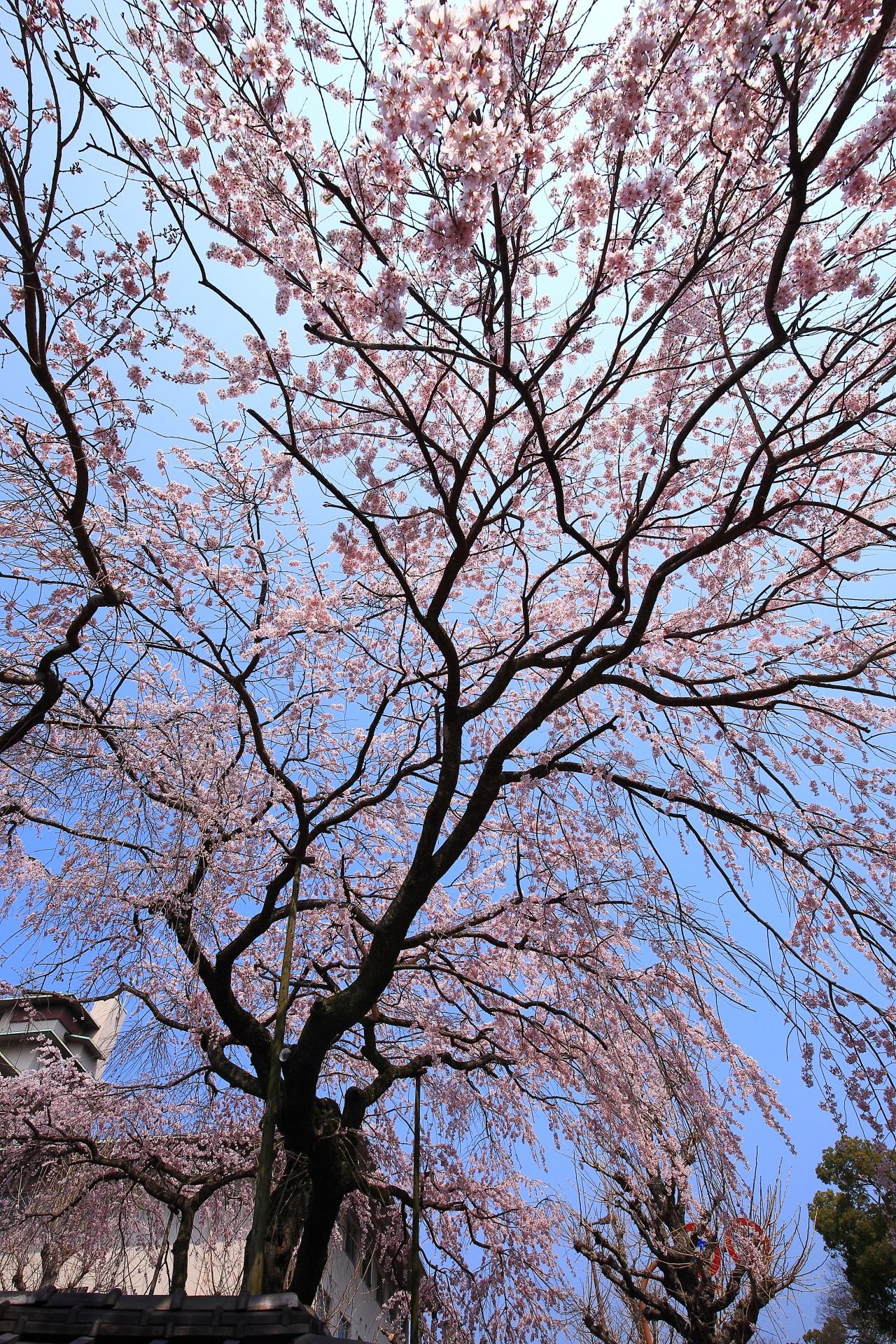 平安女学院有栖館の青空を華やぐ美しすぎるしだれ桜