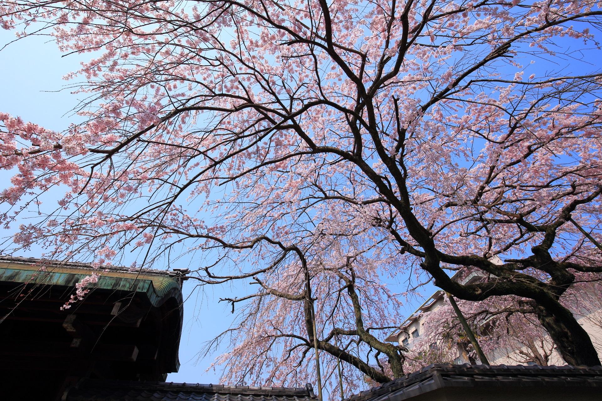 優雅に春を彩る平安女学院有栖館のしだれ桜