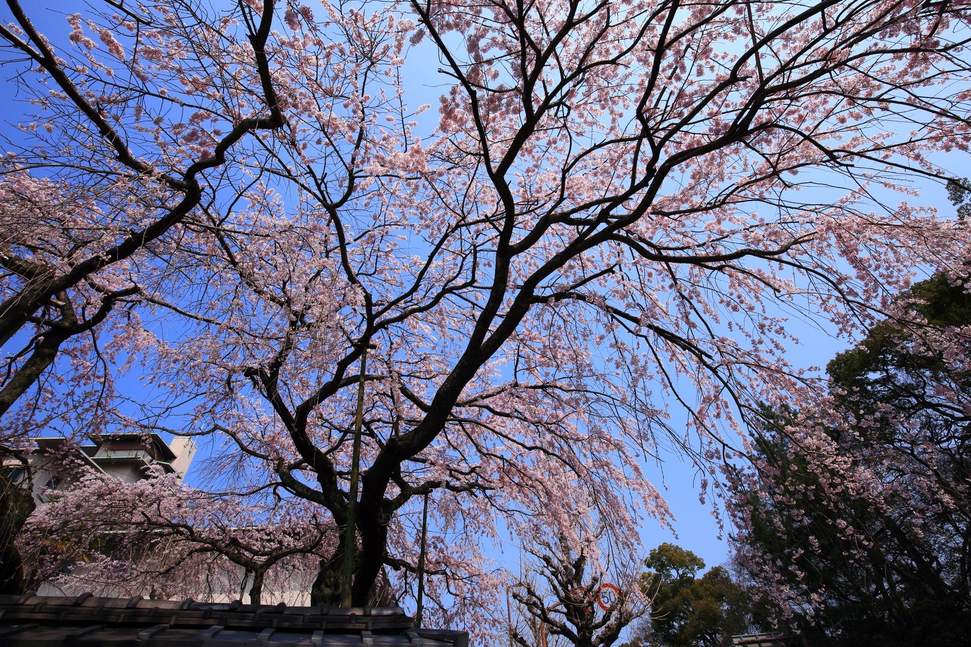 平安女学院の青空を覆うしだれ桜