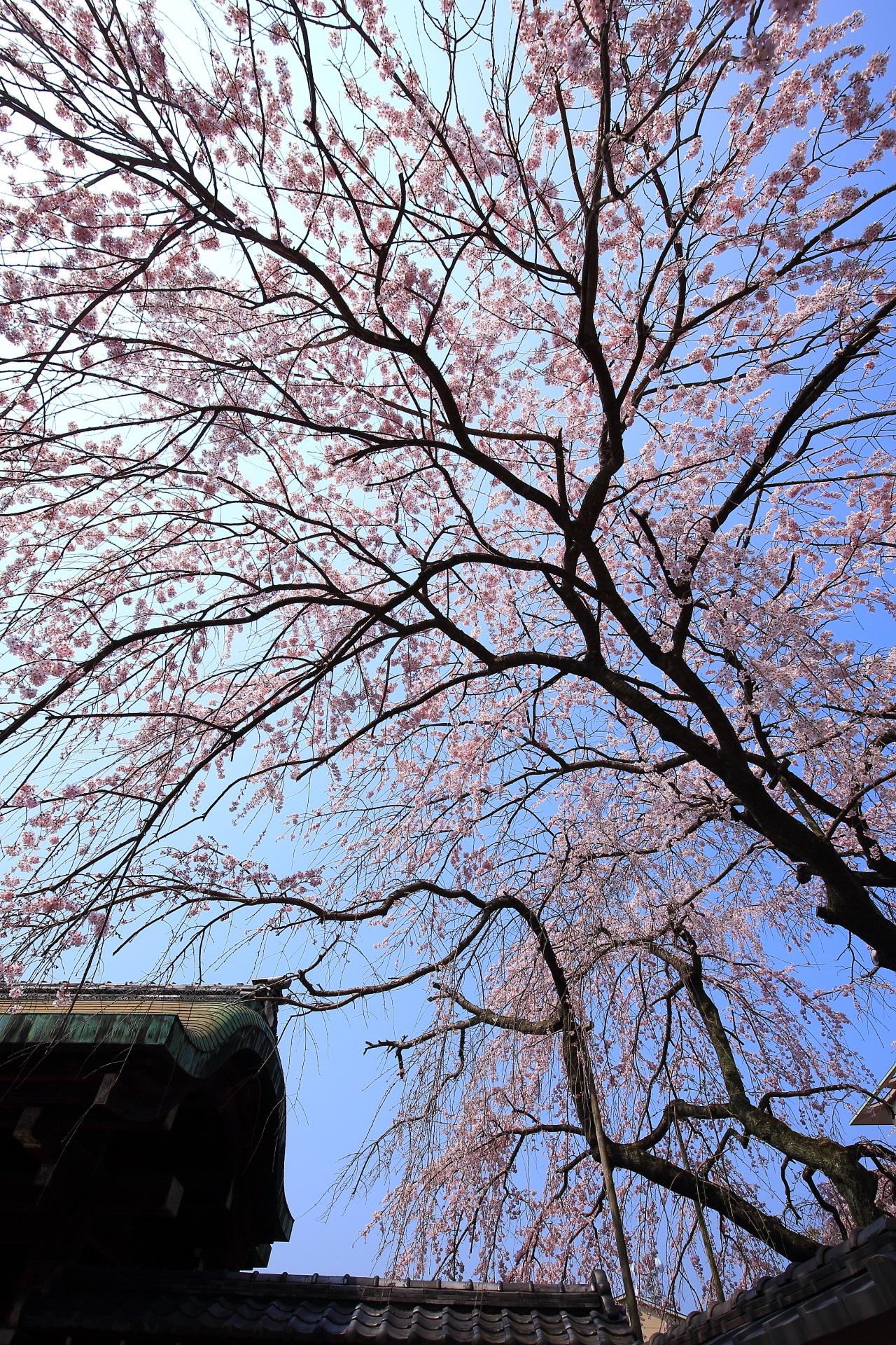 平安女学院 有栖館の素晴らしいしだれ桜と春の情景