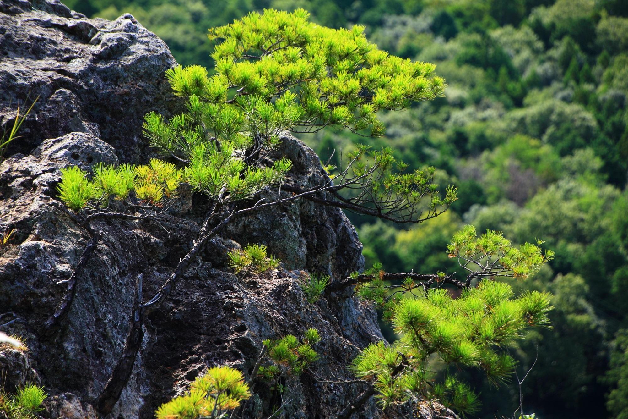 京丹後市の兜山の人食い岩から生える松