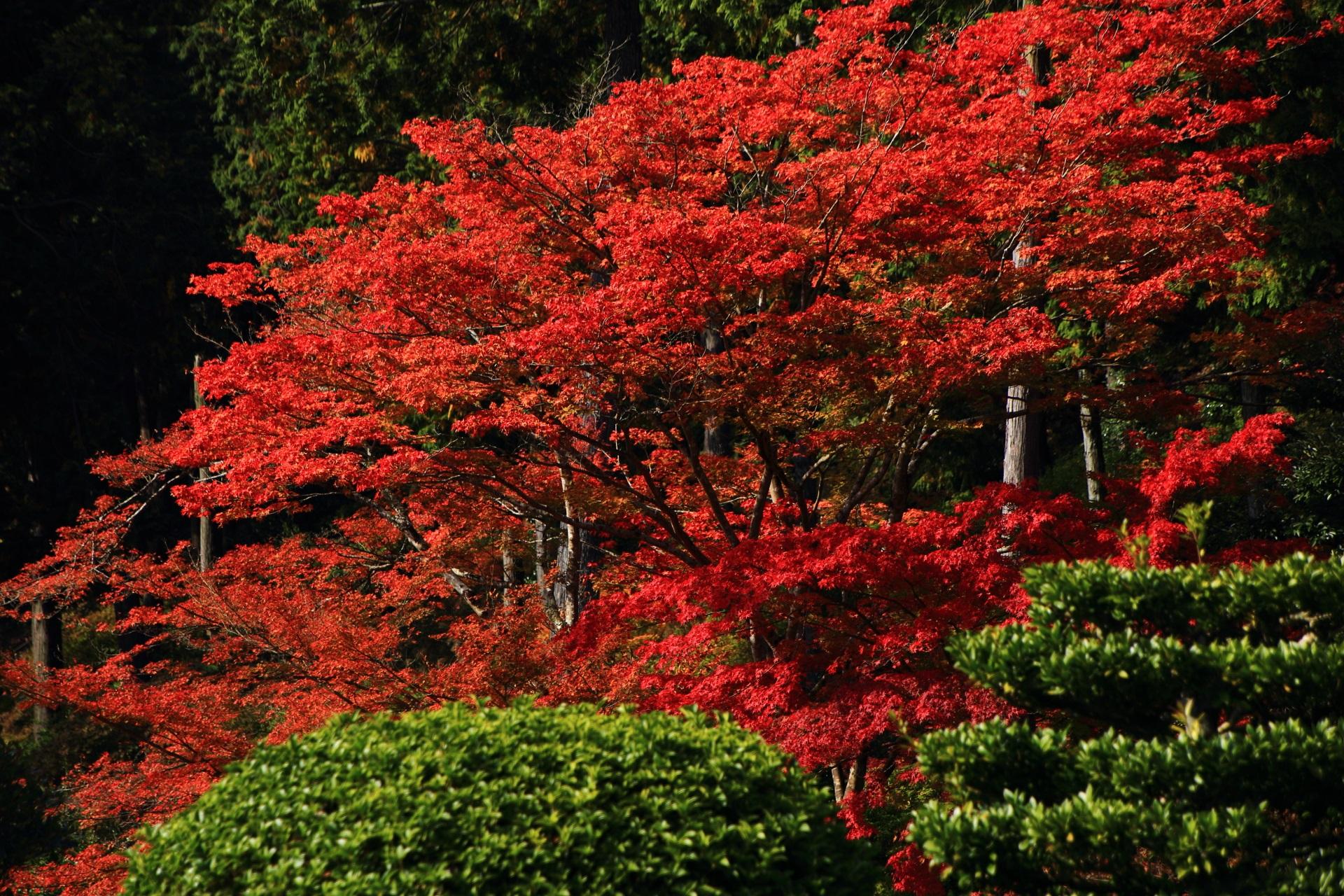鮮烈な色合いの真っ赤なカエデ