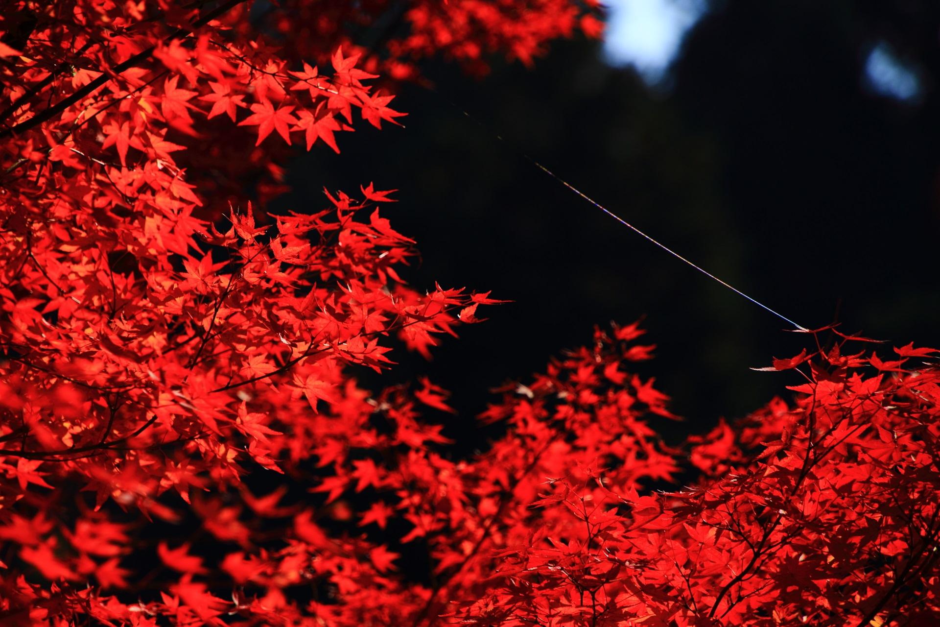 真っ赤に色づくもみじと光る蜘蛛の糸